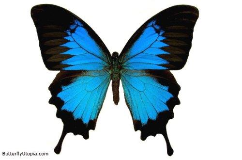 Cool butterfly backgrounds wallpapersafari - Bat and poppy wallpaper ...