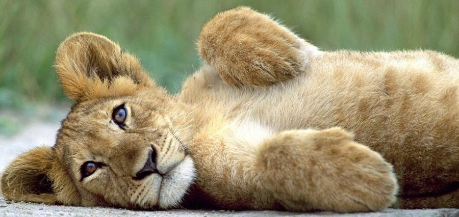 Lion cubs images cute lion cub wallpaper photos 37492130 900x426