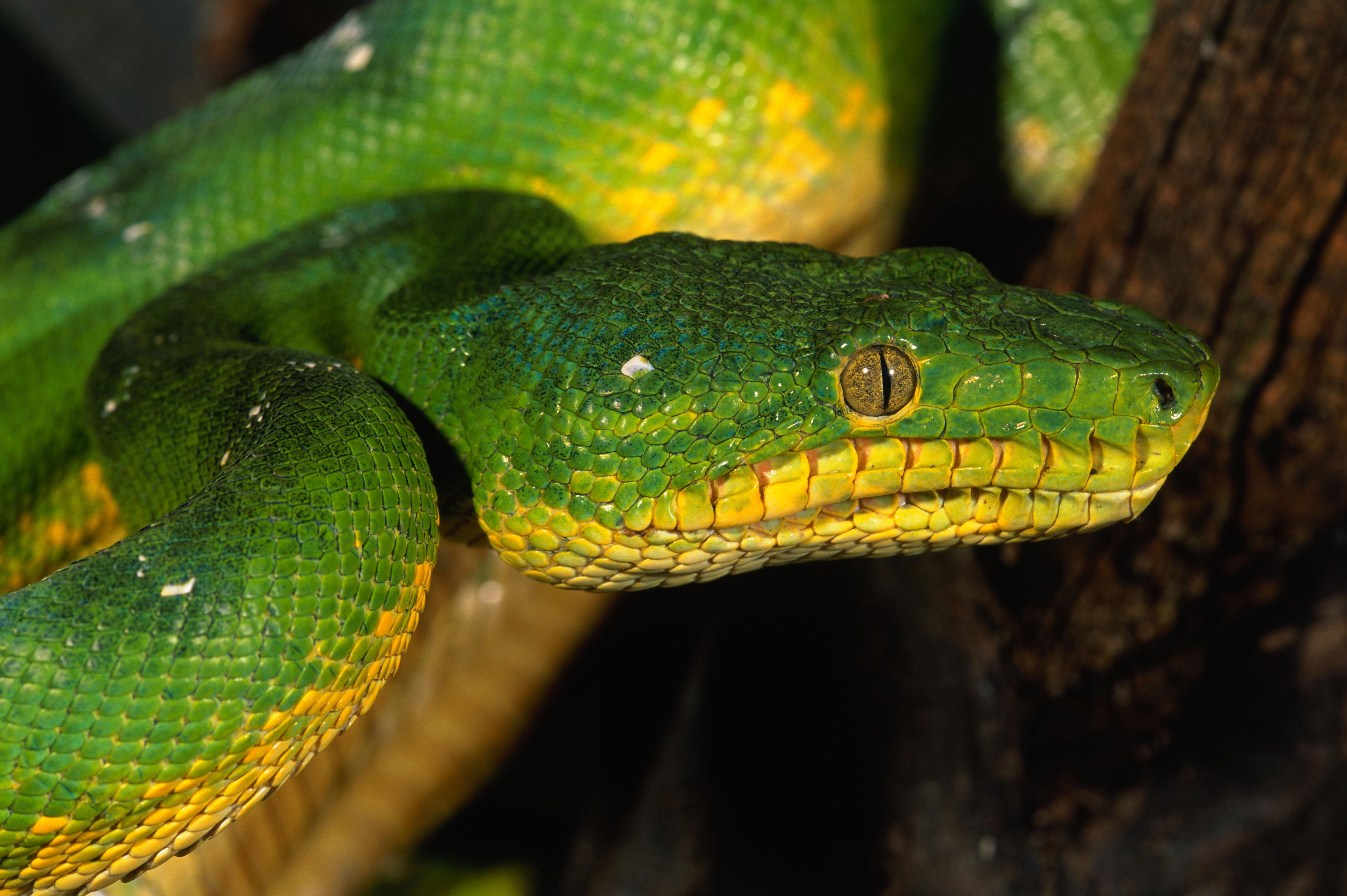 Green snake eyes scales wallpaper   ForWallpapercom 4208x2799