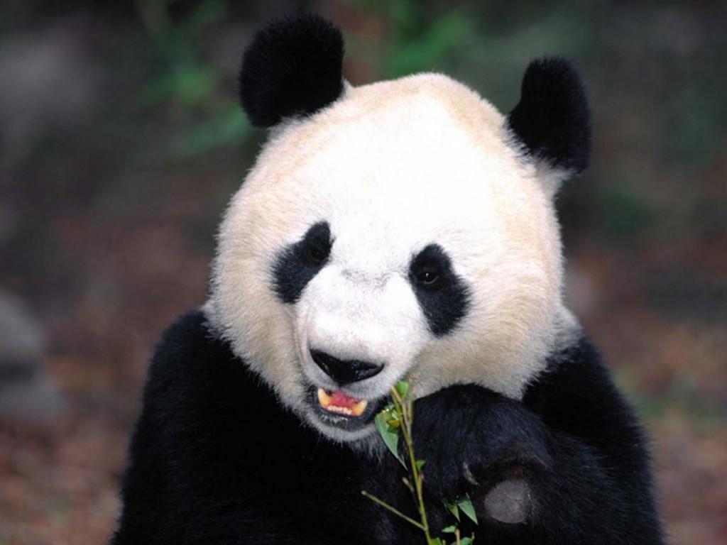 HD Wallpaper Backgrounds of Panda Bear Home Panda Bear Pictures 1024x768
