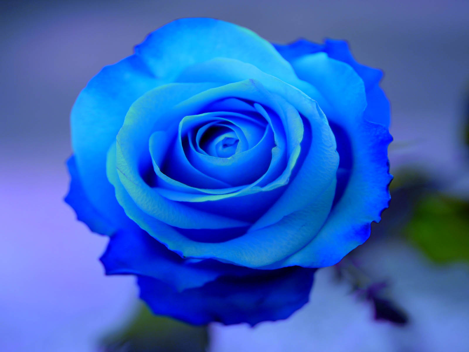 Tag Blue Rose Wallpapers Backgrounds Photos Picturesand Images 1600x1200
