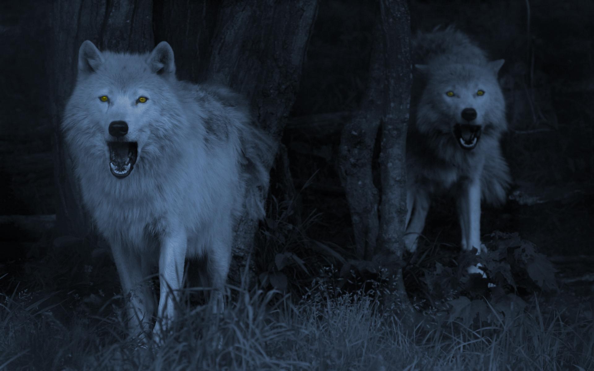 Wolf Computer Wallpapers Desktop Backgrounds 1920x1200 1920x1200