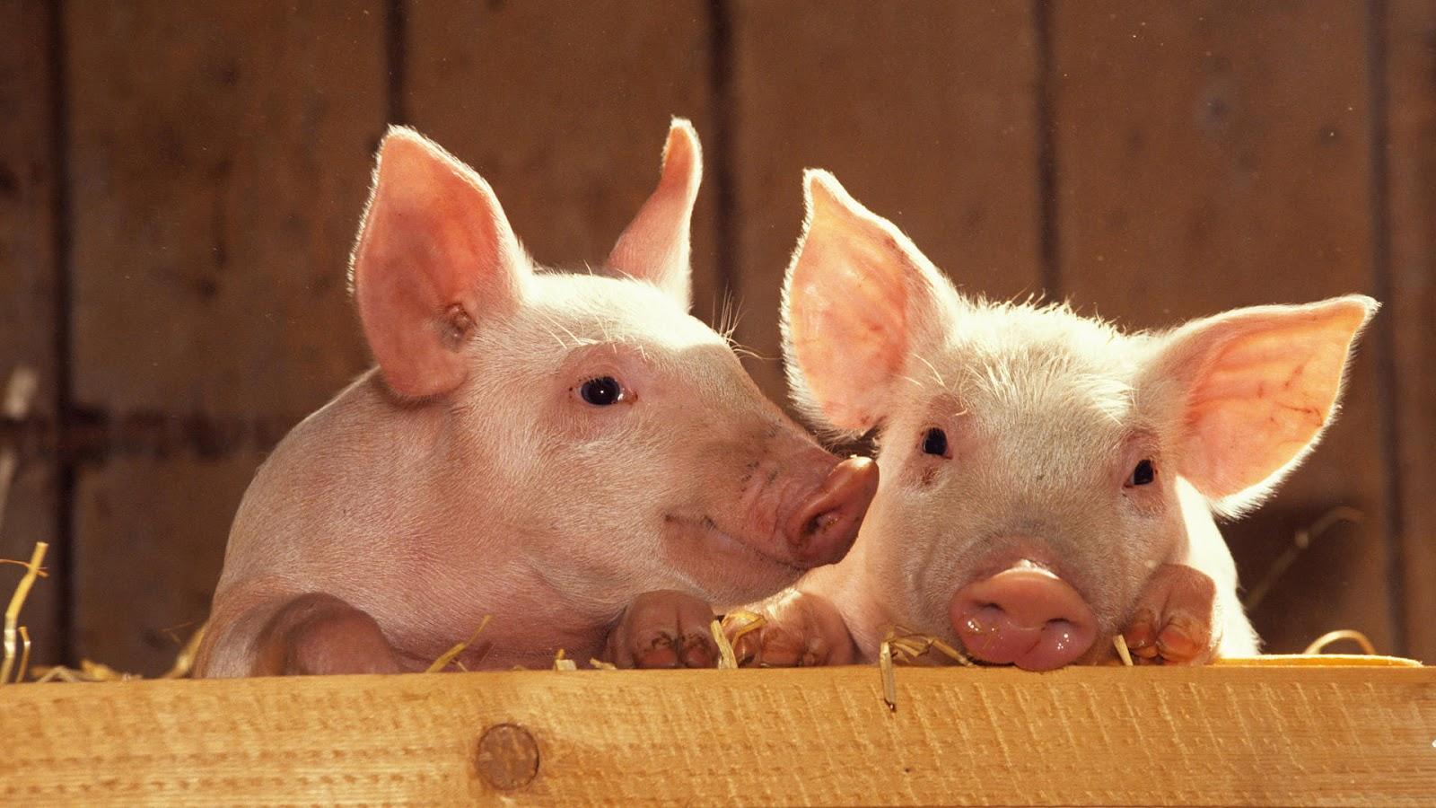 HD animal wallpaper of two cute looking pigs HD pig wallpaper 1600x900