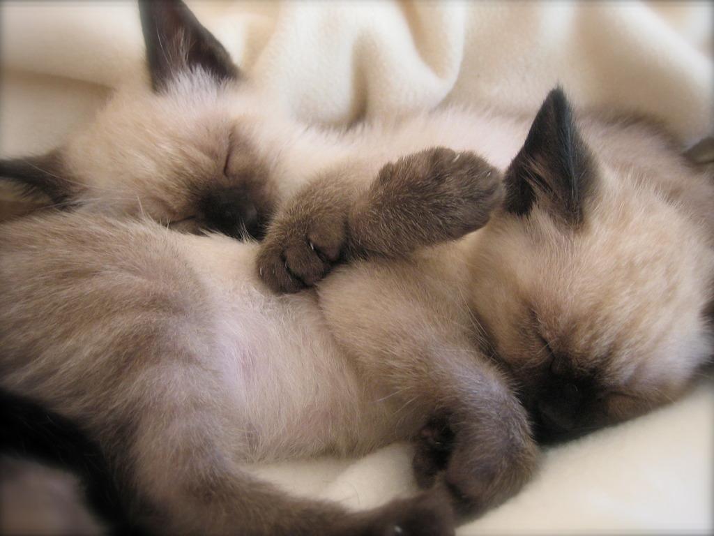 Siamese Kitten Wallpaper Wallpapersafari