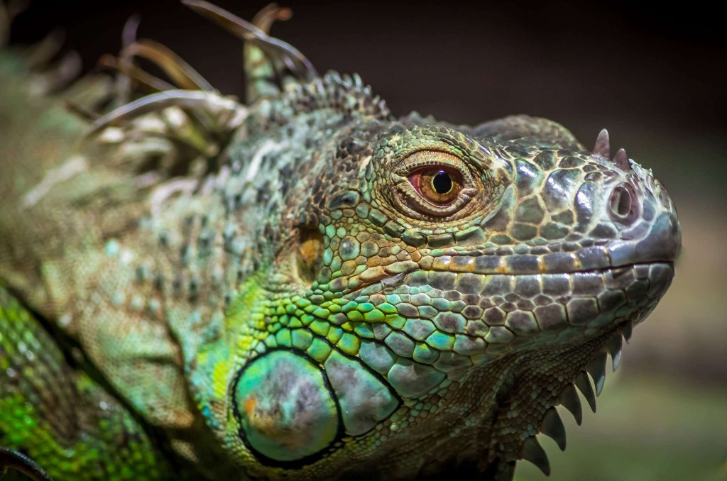 Iguana Wallpapers High Quality Download 1024x678
