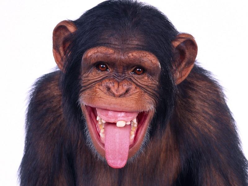 Monkey Screensaver 800x600