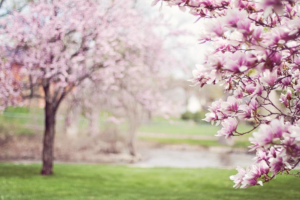 Magnolia Trees Springtime Blossoms   photo on Pixabay 960x640