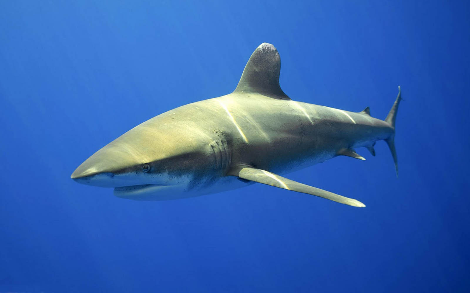 Tag Shark Wallpapers Backgrounds Photos Picturesand Images for 1600x1000