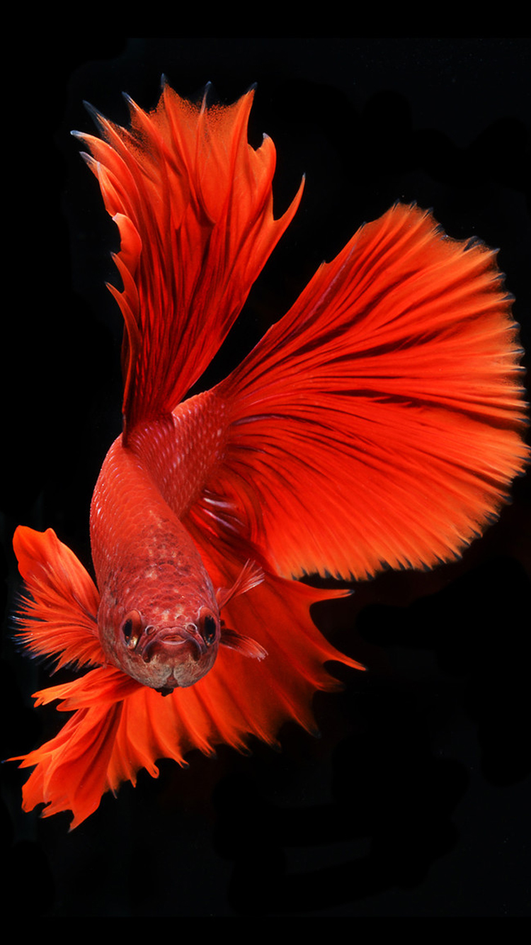 Apple iPhone 6s Wallpaper with Red Veil Tail Betta Fish in Dark 750x1334