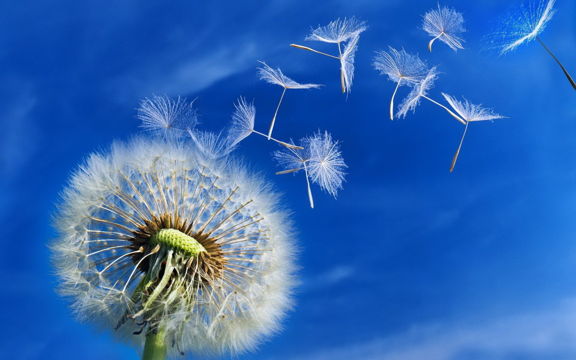 Gallery For gt Dandelion Blowing Background 1920x1200