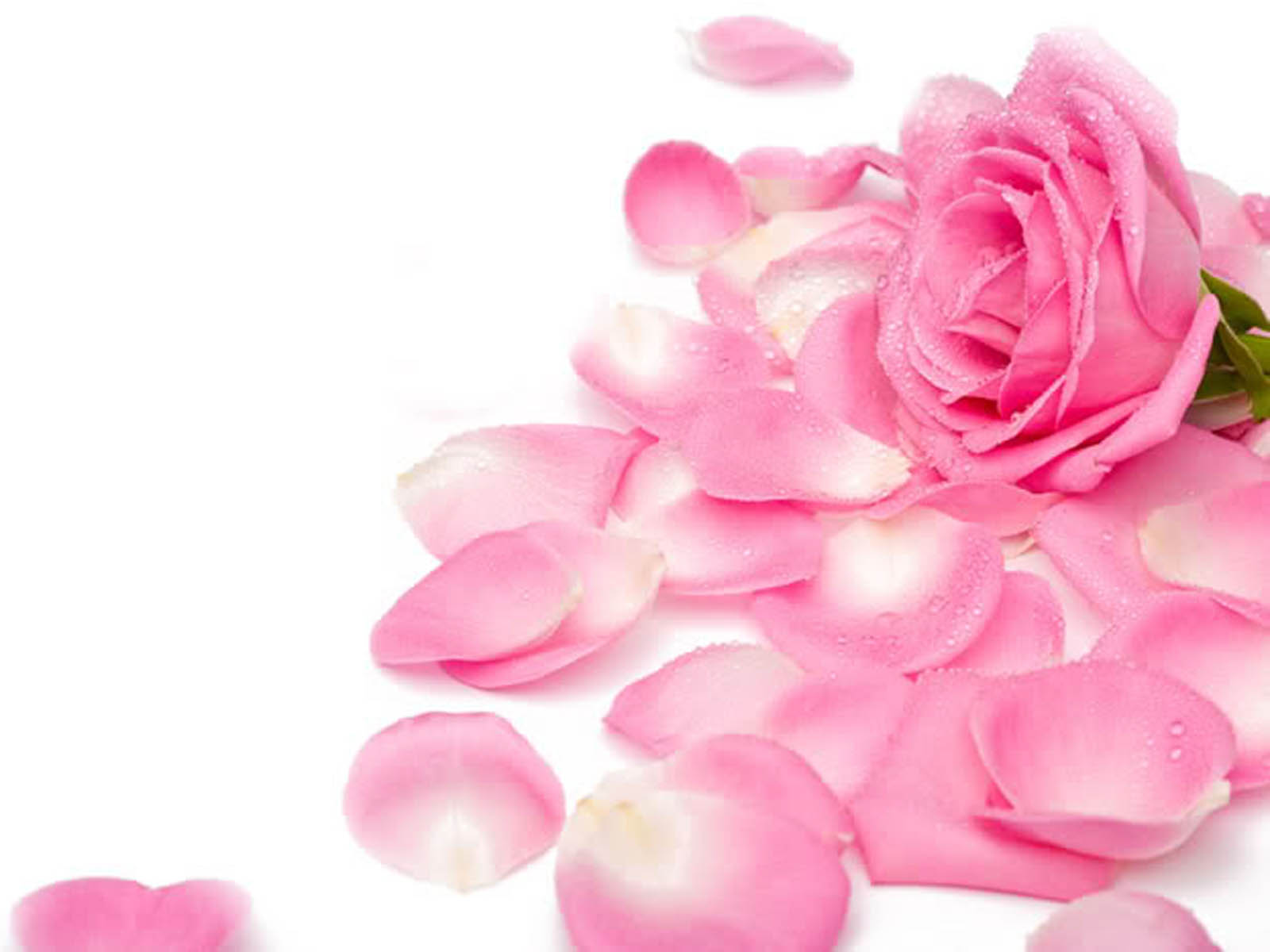 Tag Pink Rose Wallpapers Backgrounds Paos Pictures and Images for 1600x1200