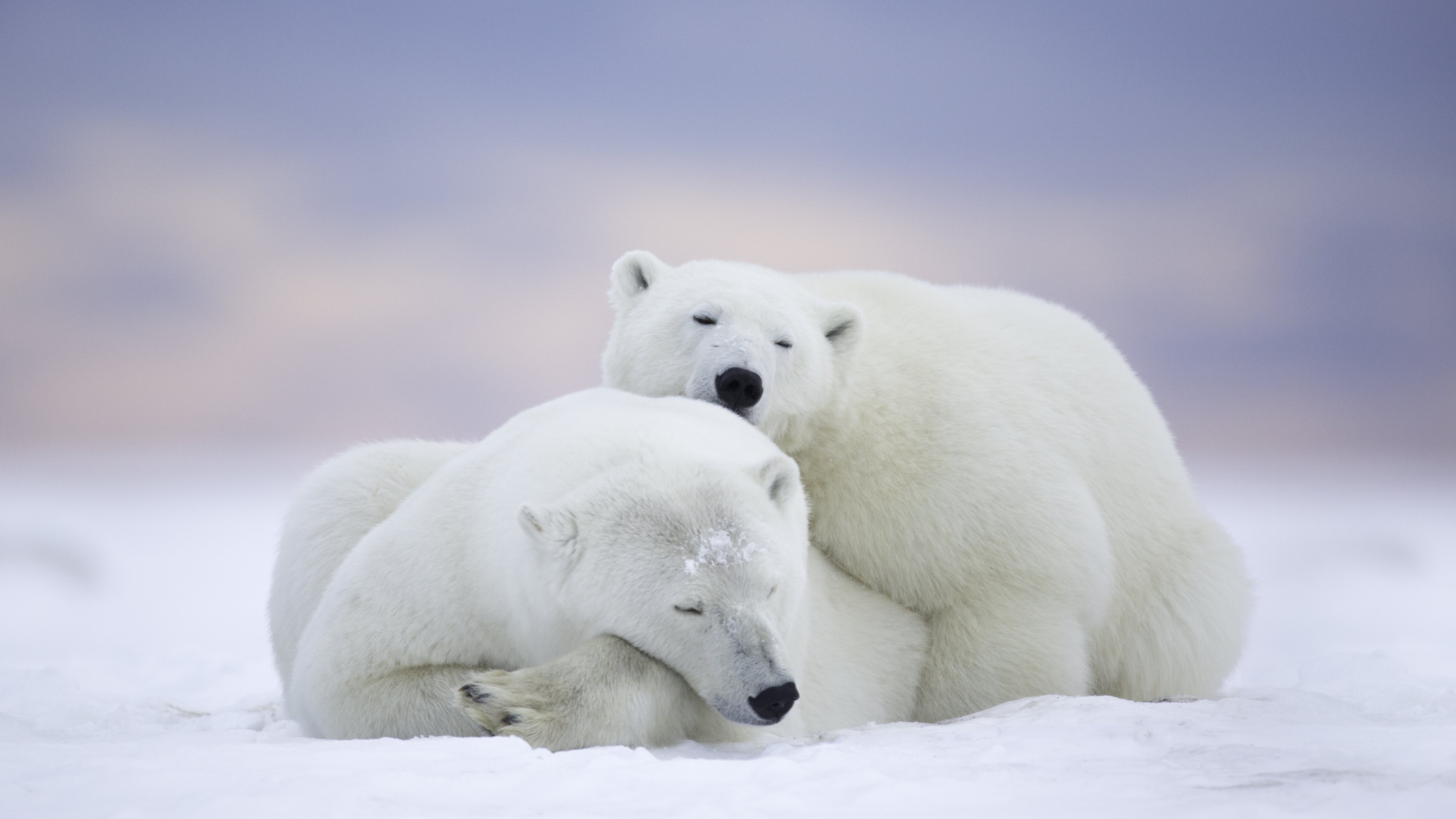 Animals   Wild   Polar Bears   Wallpaper 3840x2160