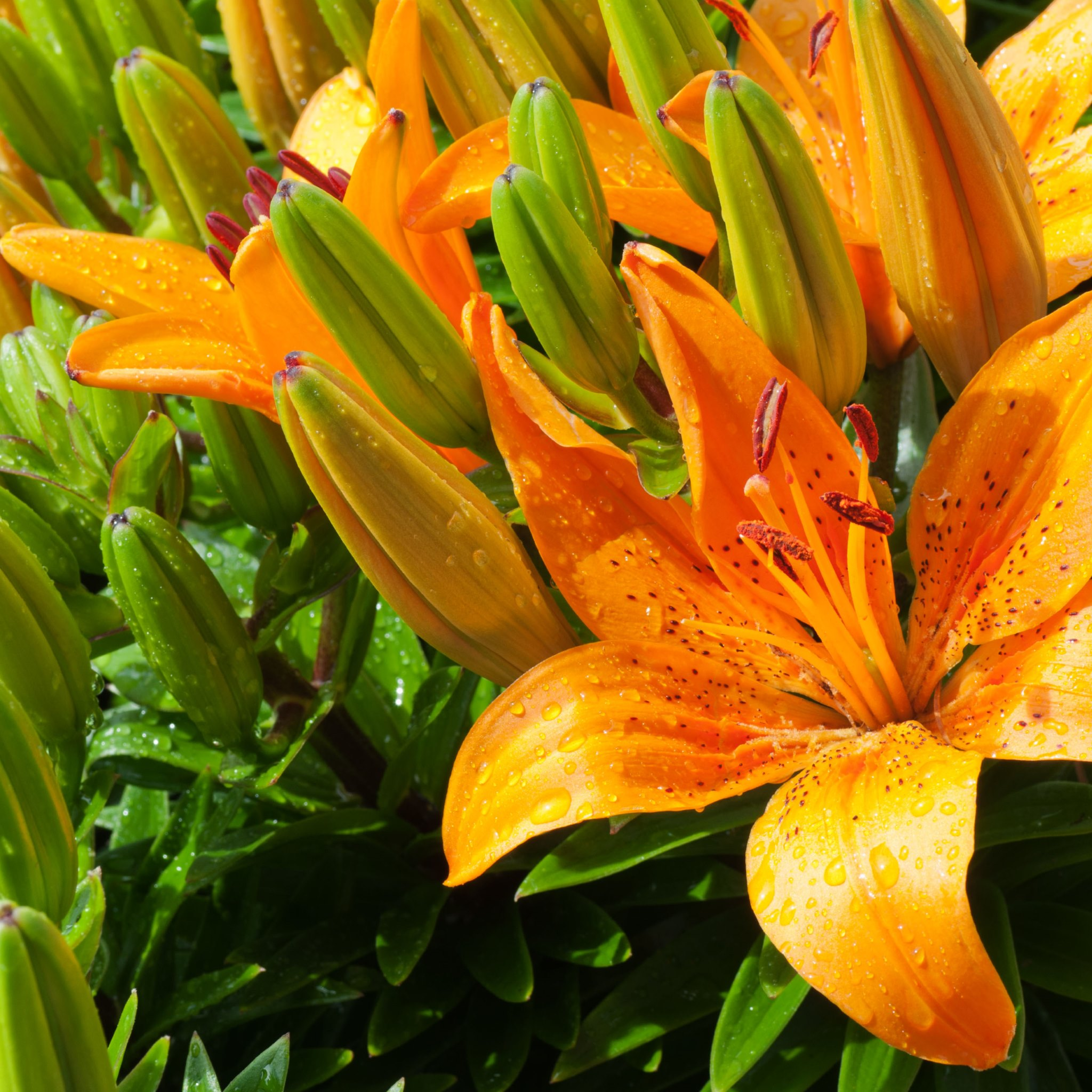 Tiger Lily Wallpapers HD Wallpapers 2048x2048