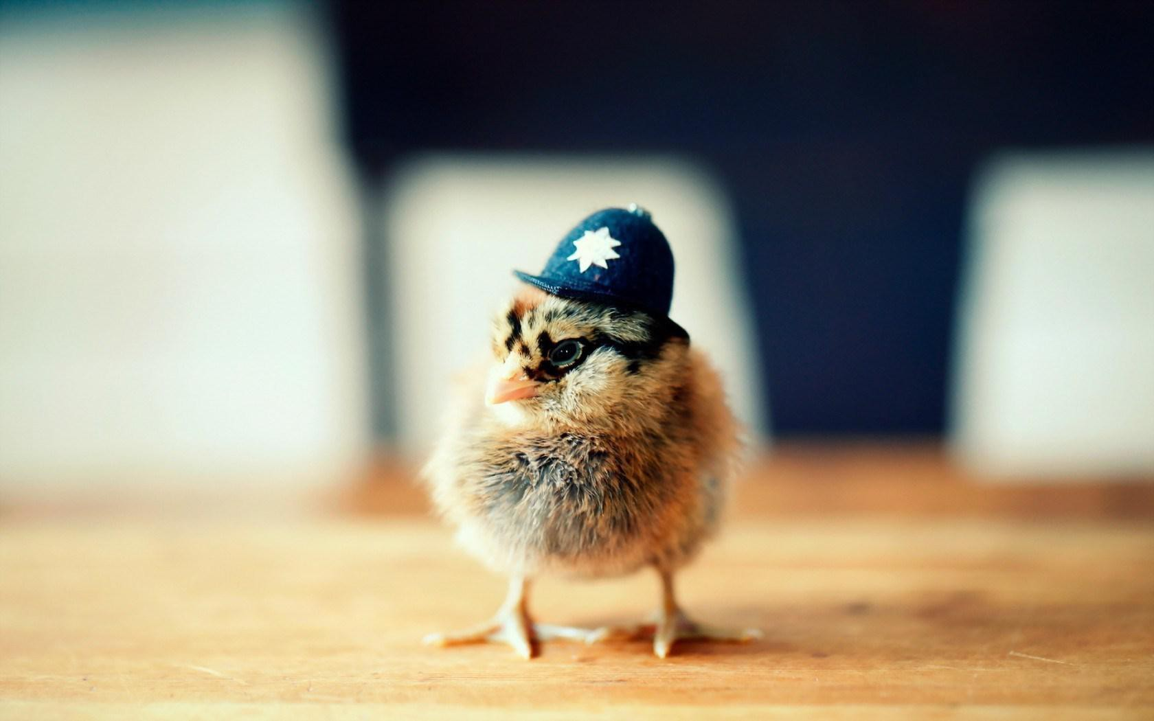 Cute Chicken Hat Funny Wallpapers   New HD Wallpapers 1680x1050