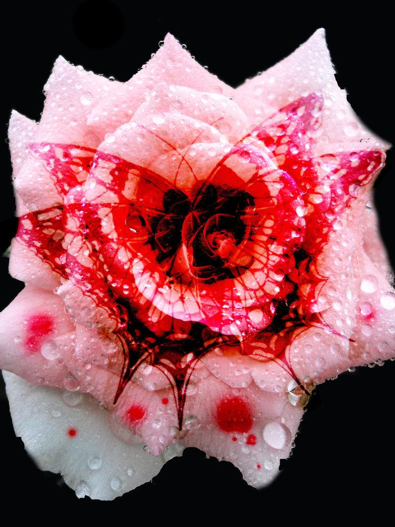 Картинки роза кровь