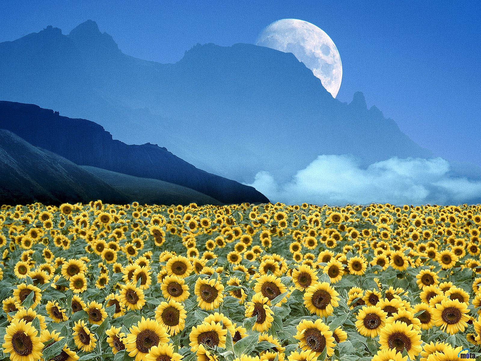 Wallpaper Moon mountains sunflower field Sunflowers field 1600x1200