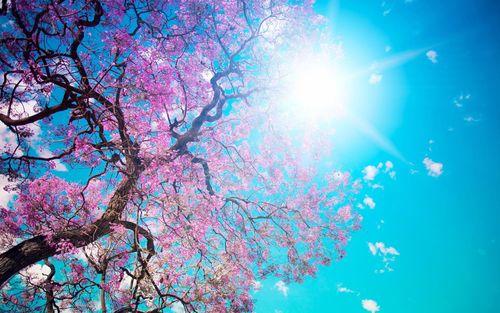 landscapes nature Sakura spring blossoms sunlight blue sky   Wallpaper 500x313