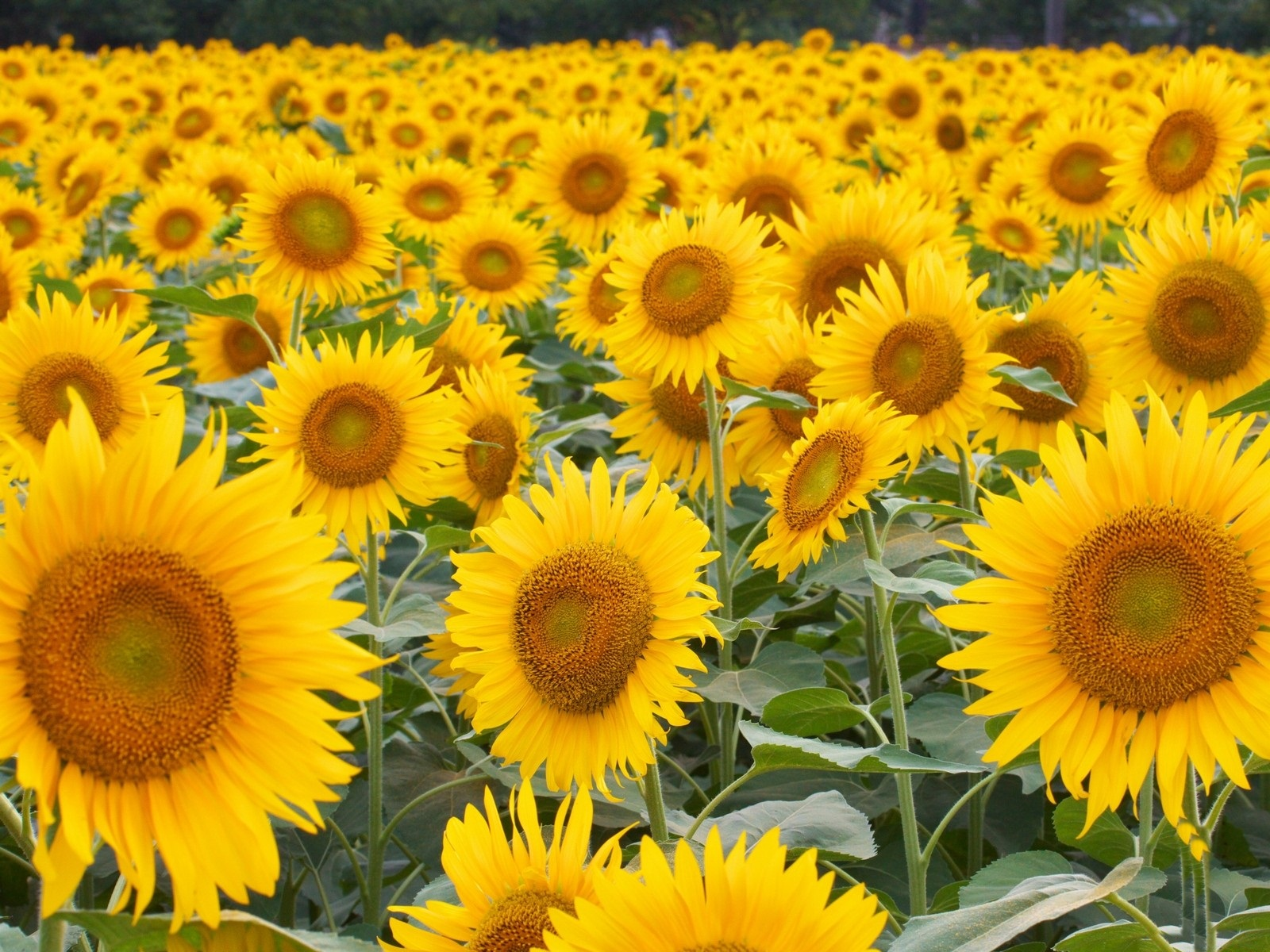 Field of Sunflowers wallpaper   ForWallpapercom 1600x1200