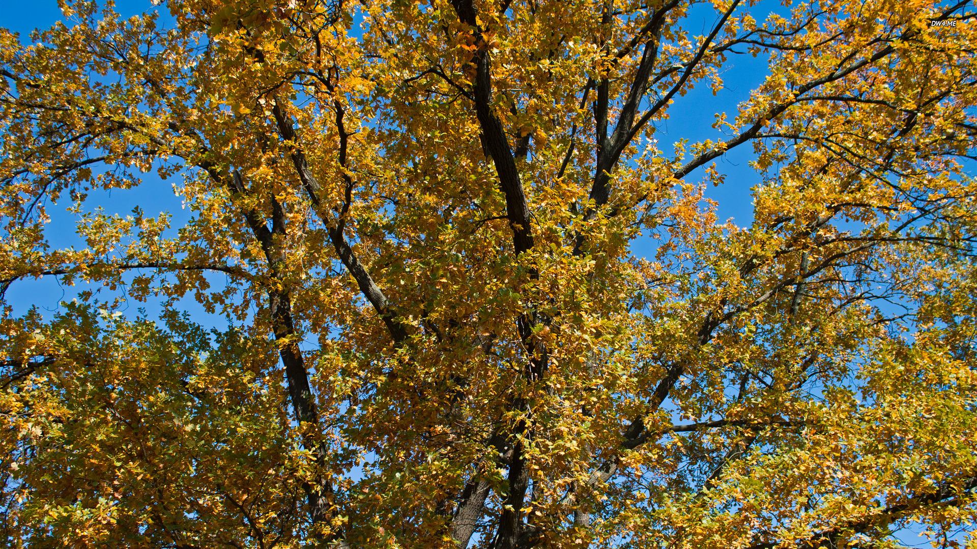 Oak Tree   Tree Leaves Yellow Tree Sky Branch Sky Autumn Oak 1920x1080