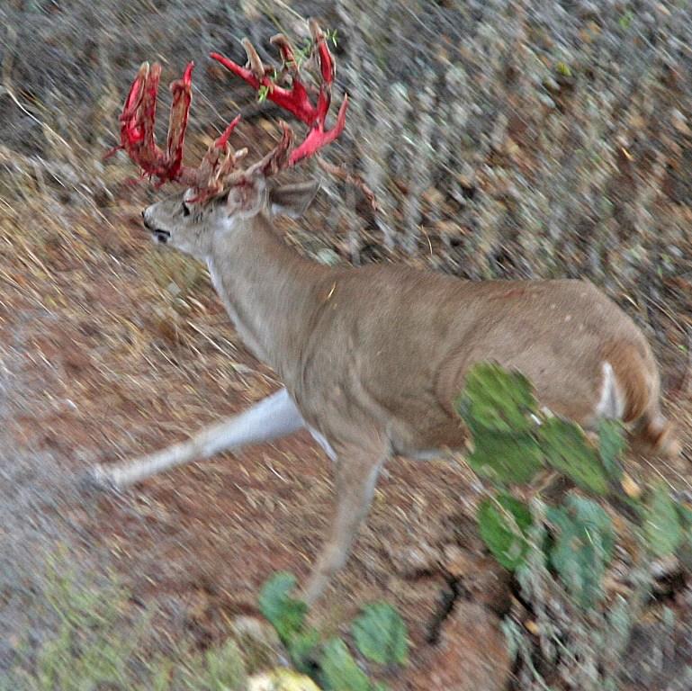 49 Free Whitetail Deer Wallpaper Downloads On Wallpapersafari