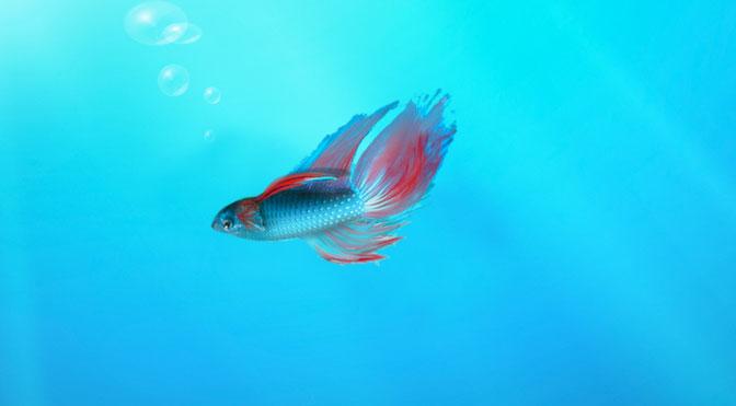 Betta Fish Wallpaper Windows 8 - WallpaperSafari