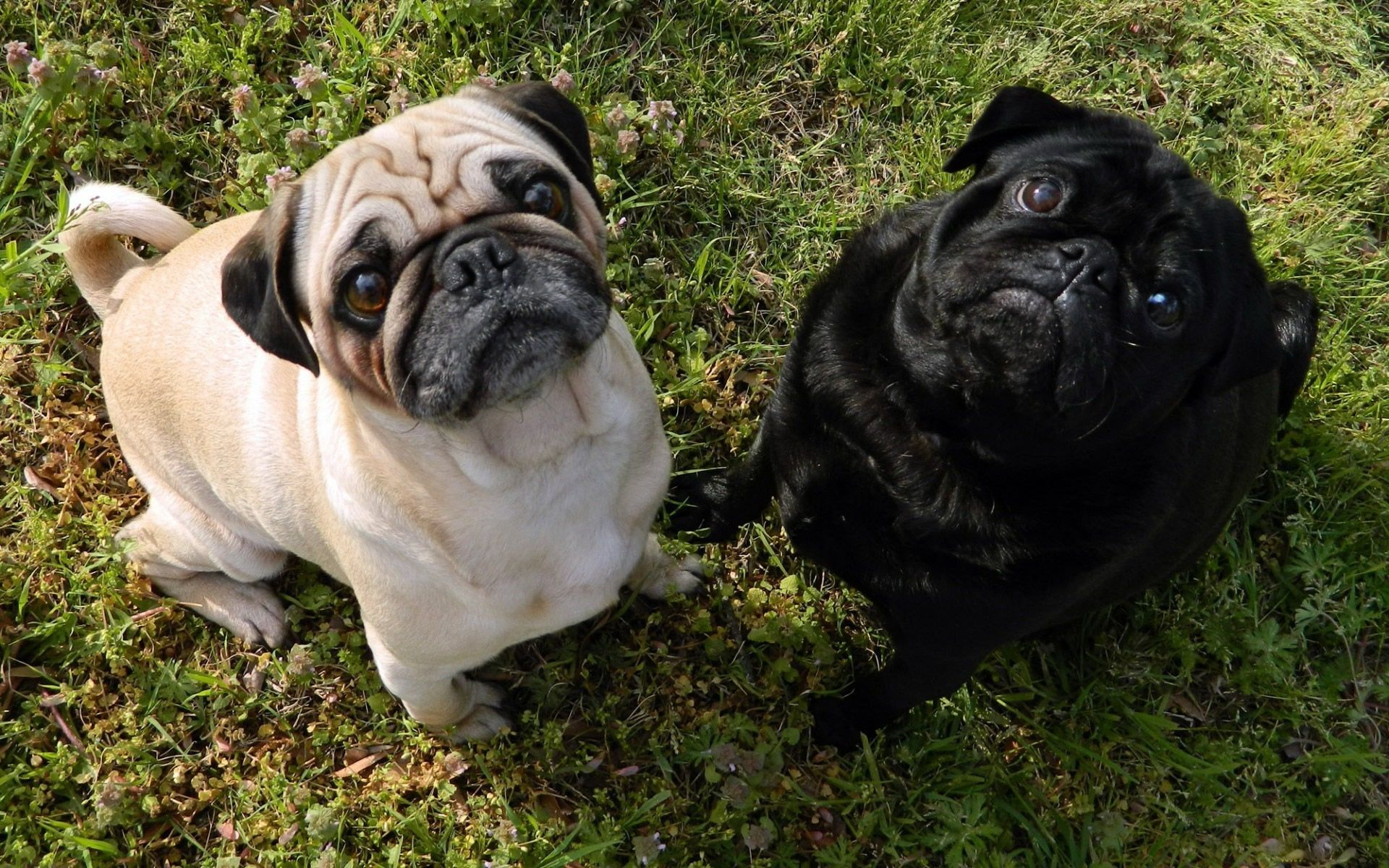 Pug Wallpapers HD Pictures Live HD Wallpaper HQ Pictures 1920x1200