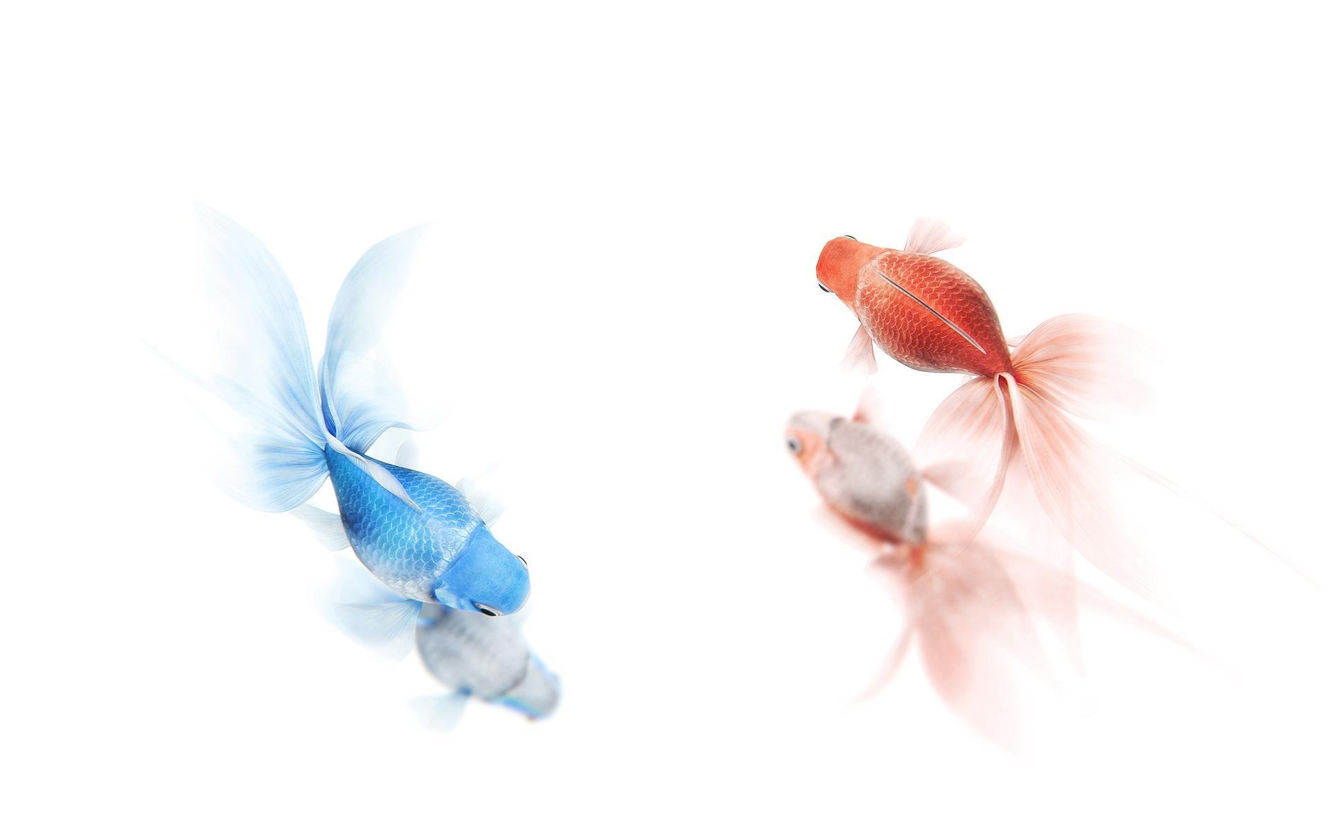 Goldfish Wallpapers HD Download 1920x1200