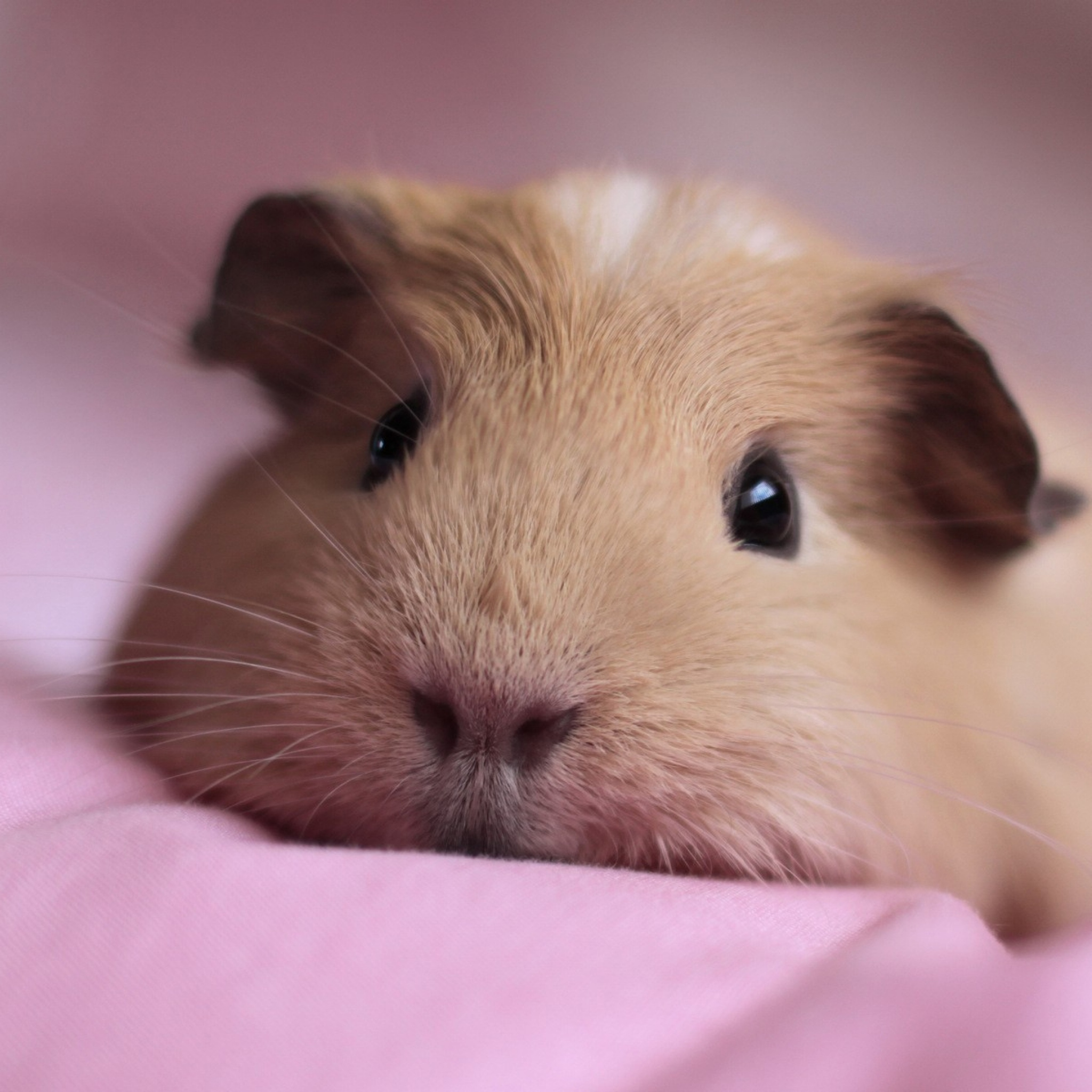 Guinea pig Snout Fluffy Down Cute Wallpaper Background New iPad 2048x2048