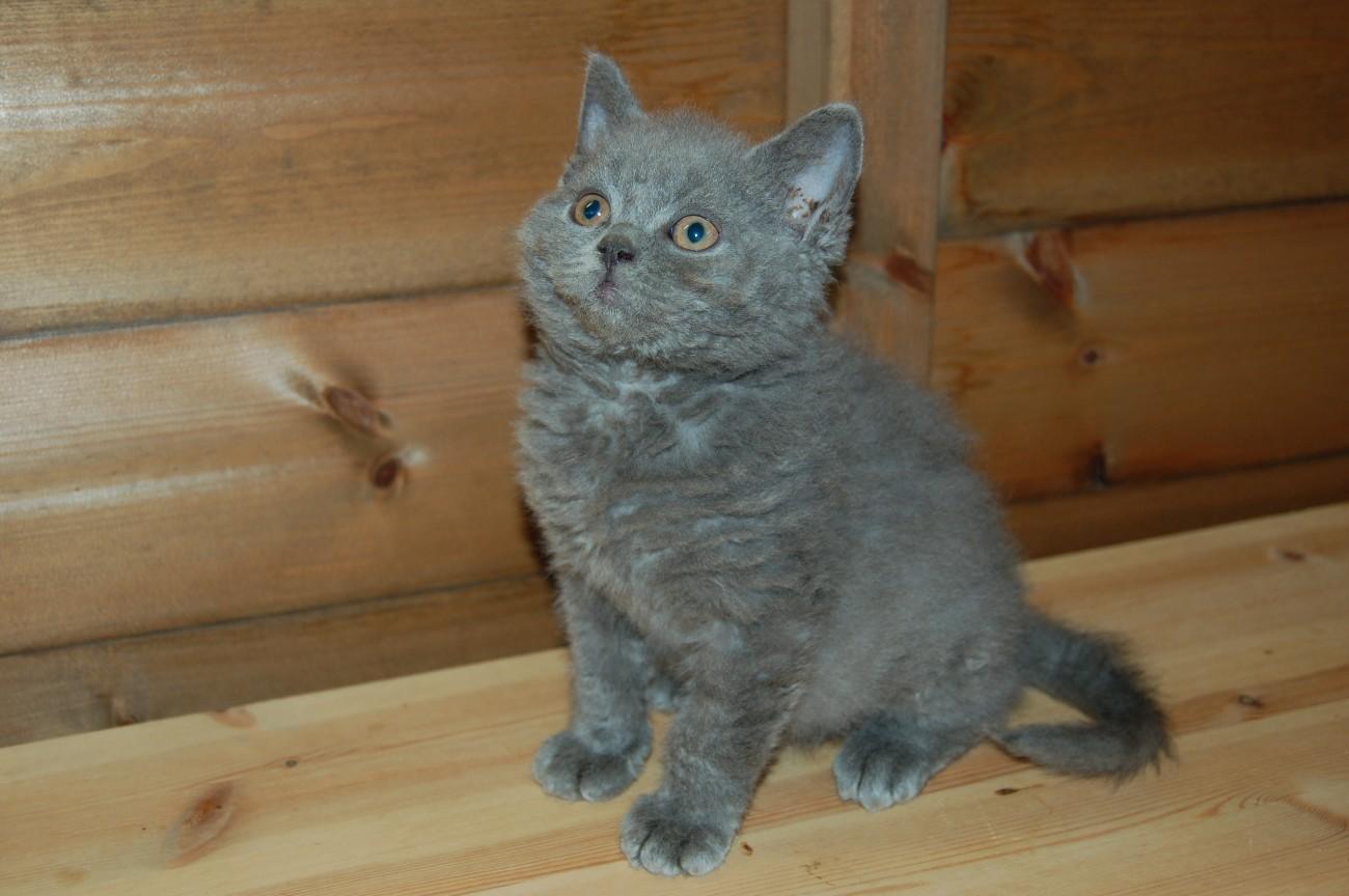 Rex kitten photo and wallpaper Beautiful Watching Selkirk Rex kitten 1300x864