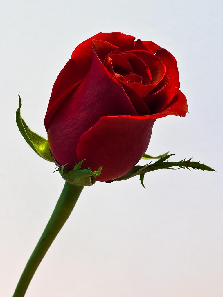 Single Red Rose Wallpaper - WallpaperSafari