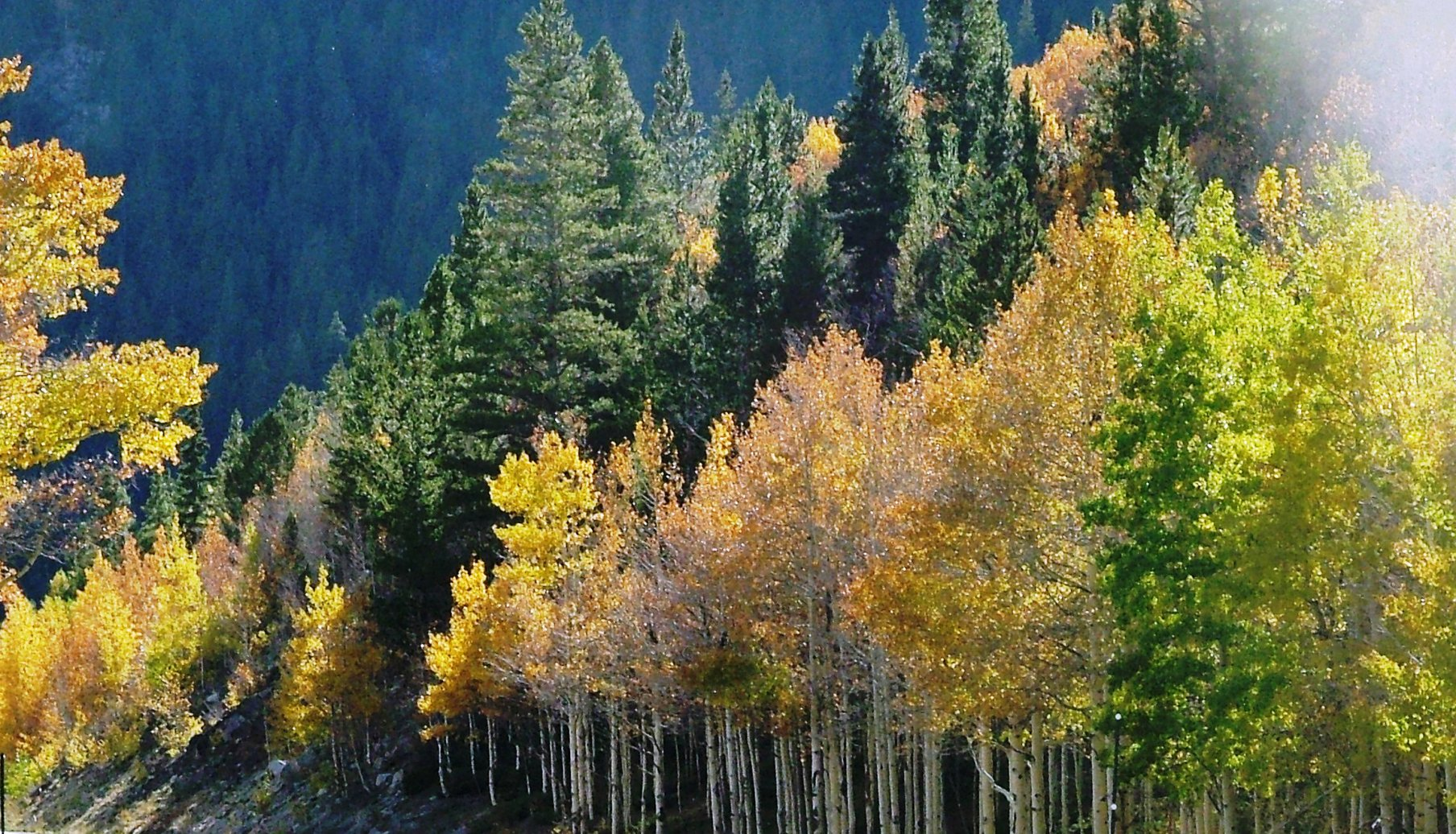 Aspen Tree Wallpaper Wallpapersafari