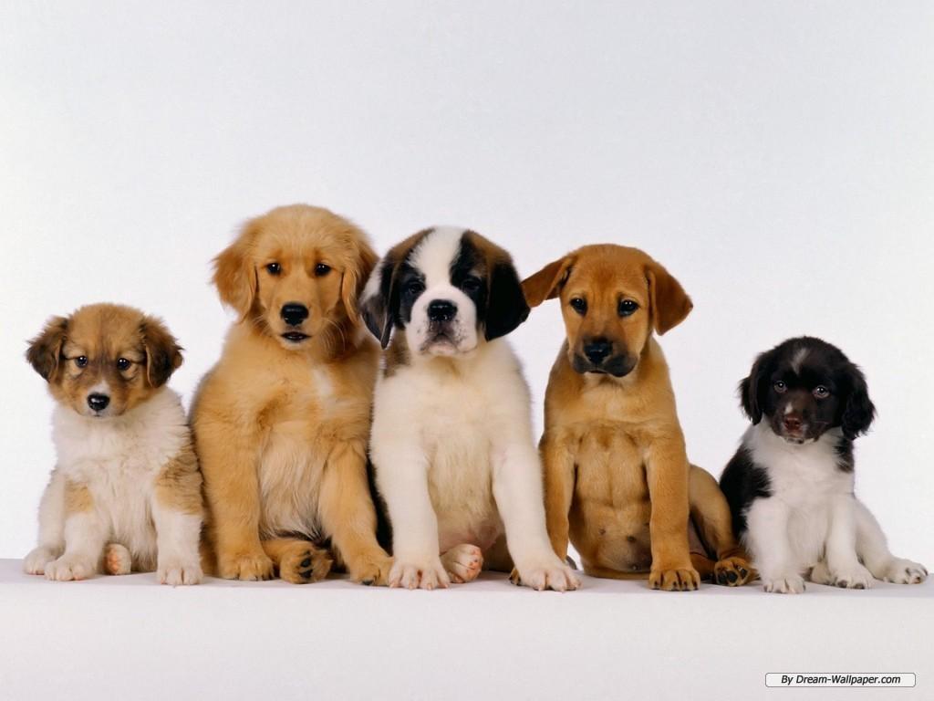 Puppy Wallpaper   Dogs Wallpaper 7013390 1024x768