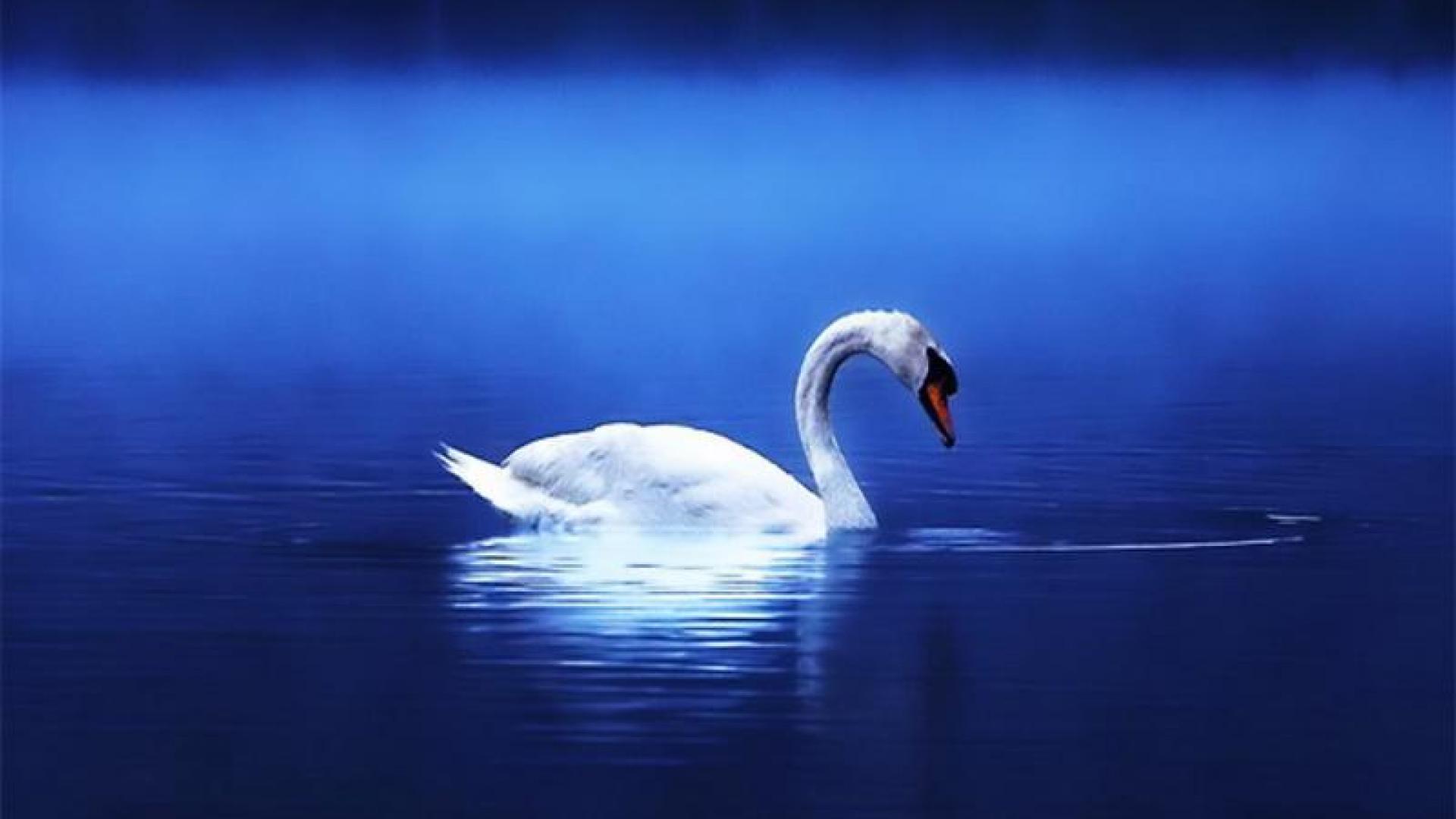 swan wallpaper HD 1920x1080