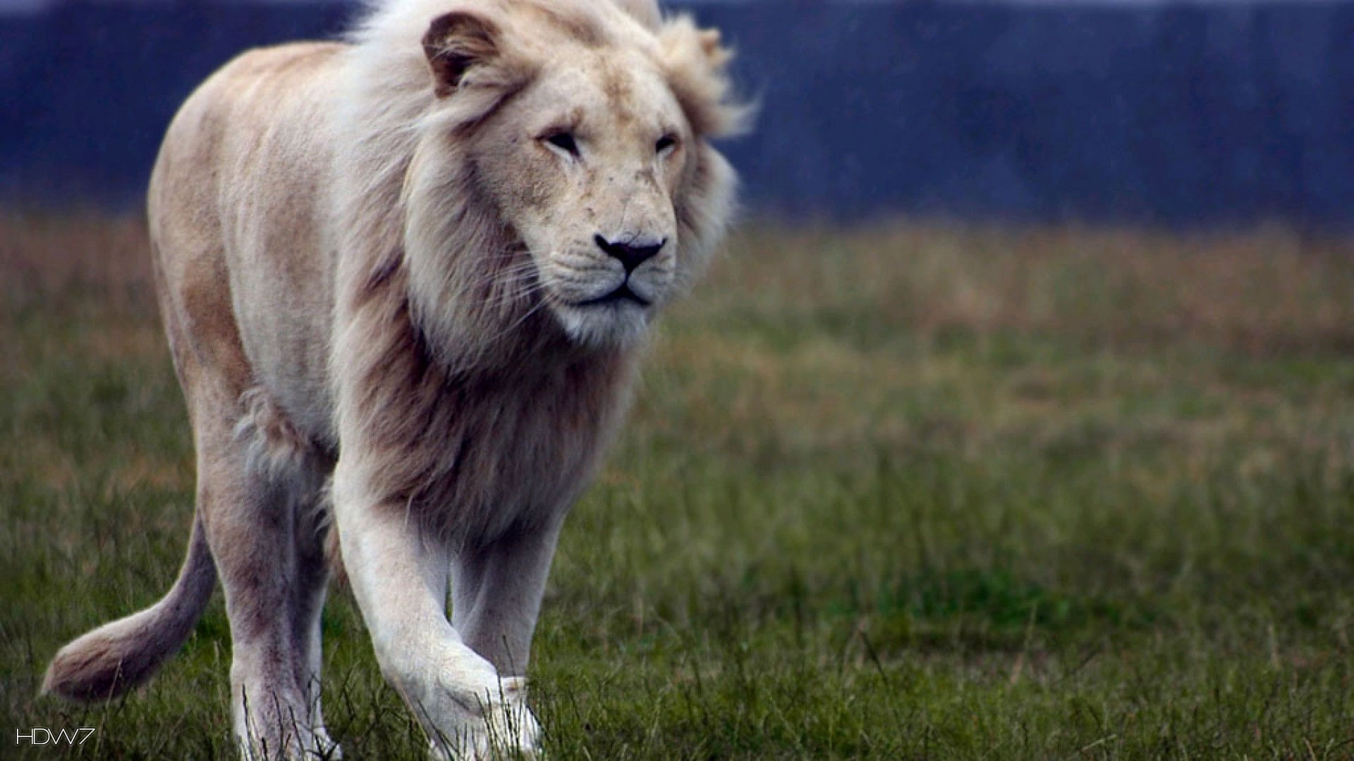 white lion hd wallpaper 2 1920x1080 HD wallpaper gallery 1920x1080