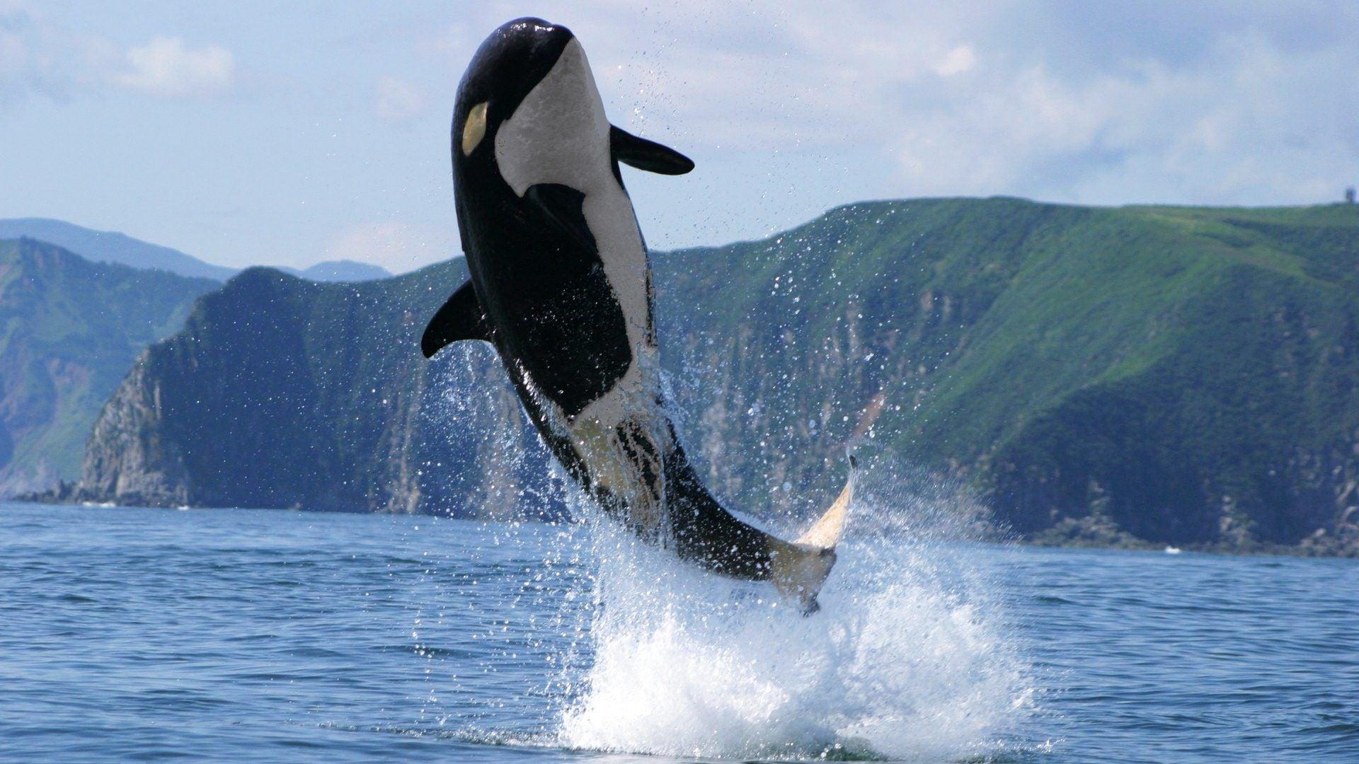 killer whale wallpaper HD 1920x1080