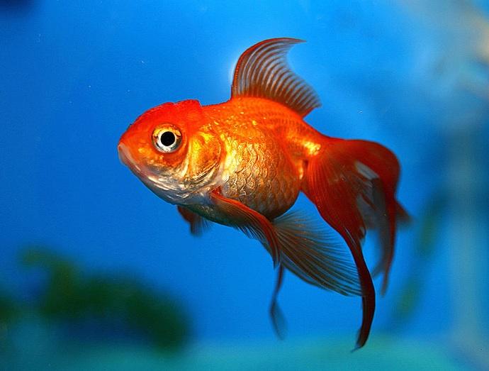 Red Fish Wallpaper Desktop 6367 WallscreenHDcom 690x523