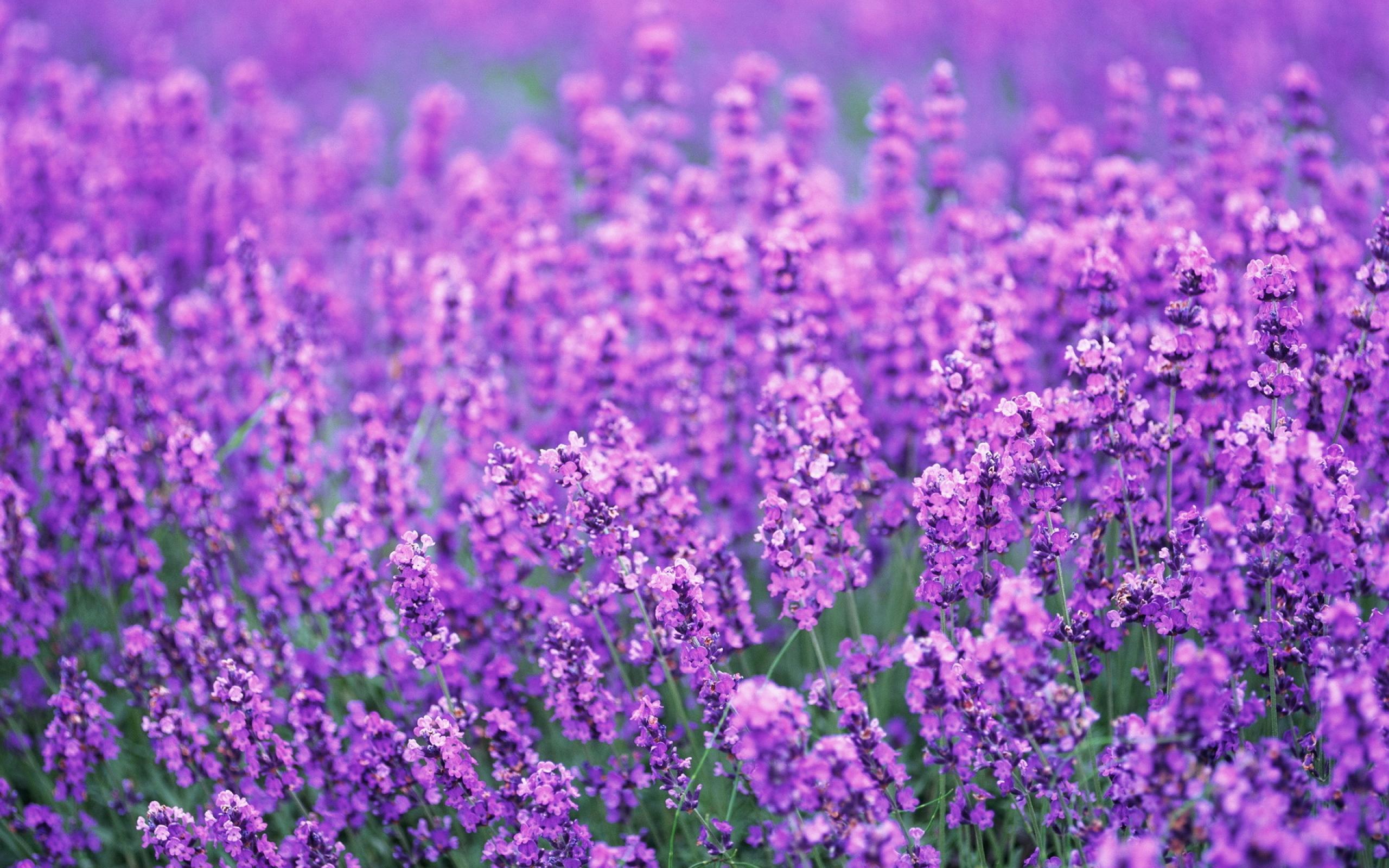 Lavender Flowers Desktop Background   Wallpaper High 2560x1600