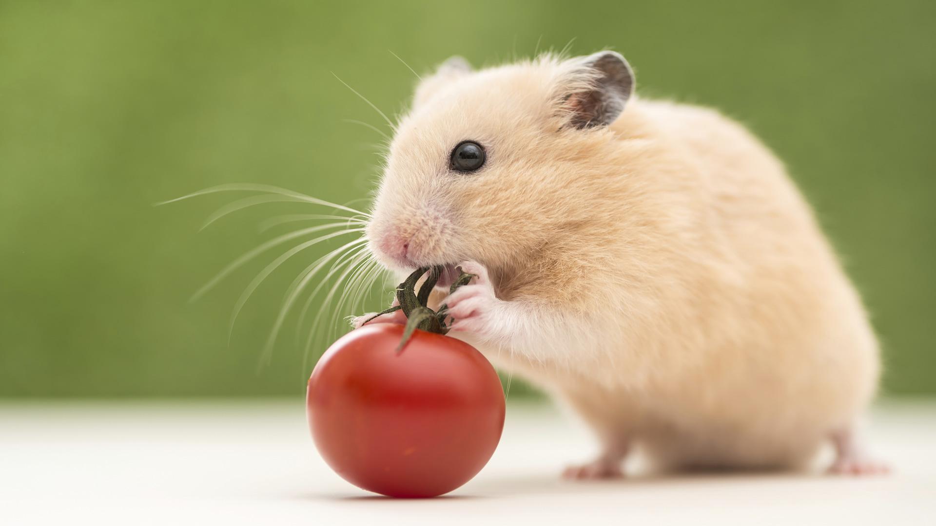 HamsterDer \u003cb\u003eHamster\u003c\b\u003e 1920x1080
