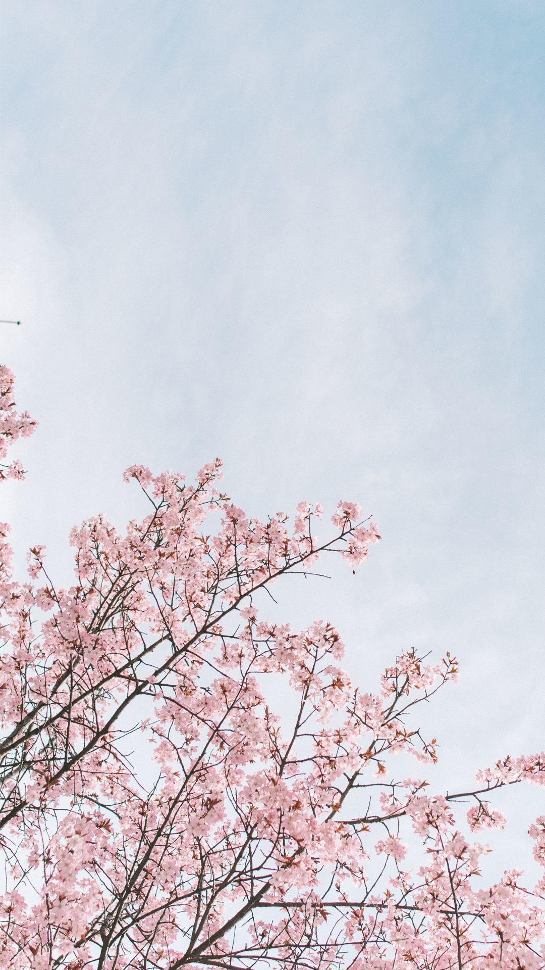 Aesthetic Background Japanese Cherry Blossom Wallpaper   allwallpaper 1080x1920