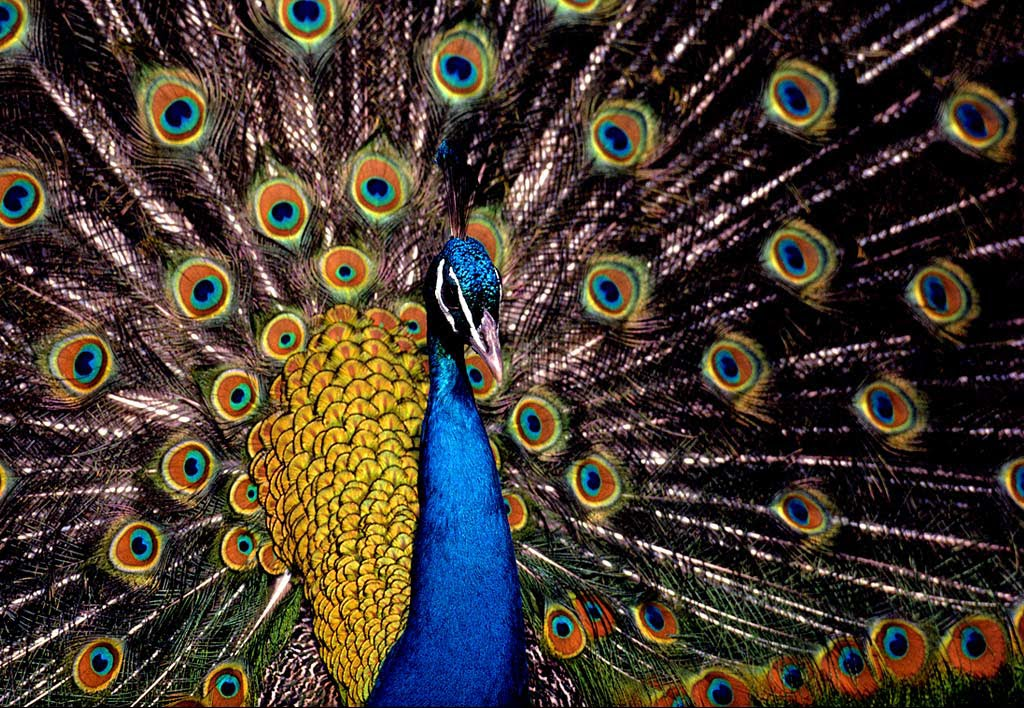 Wallpaper Blue Peacock Background Indian Blue Peacock 1024x708