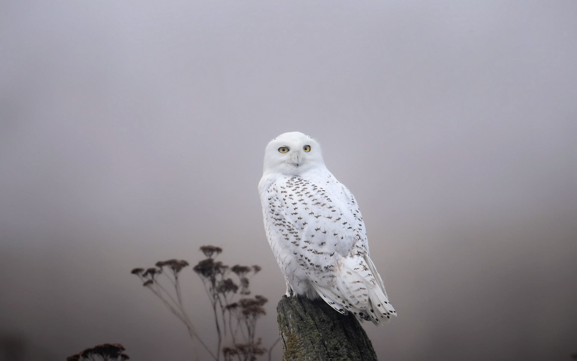 snowy owl wallpaper and screensavers wallpapersafari