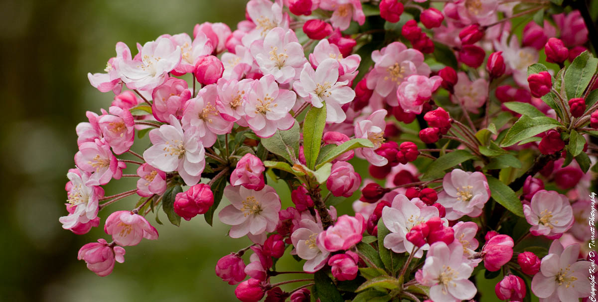 Browse and share Apple Blossom Pics images wallpapers on imghdnet 1200x606