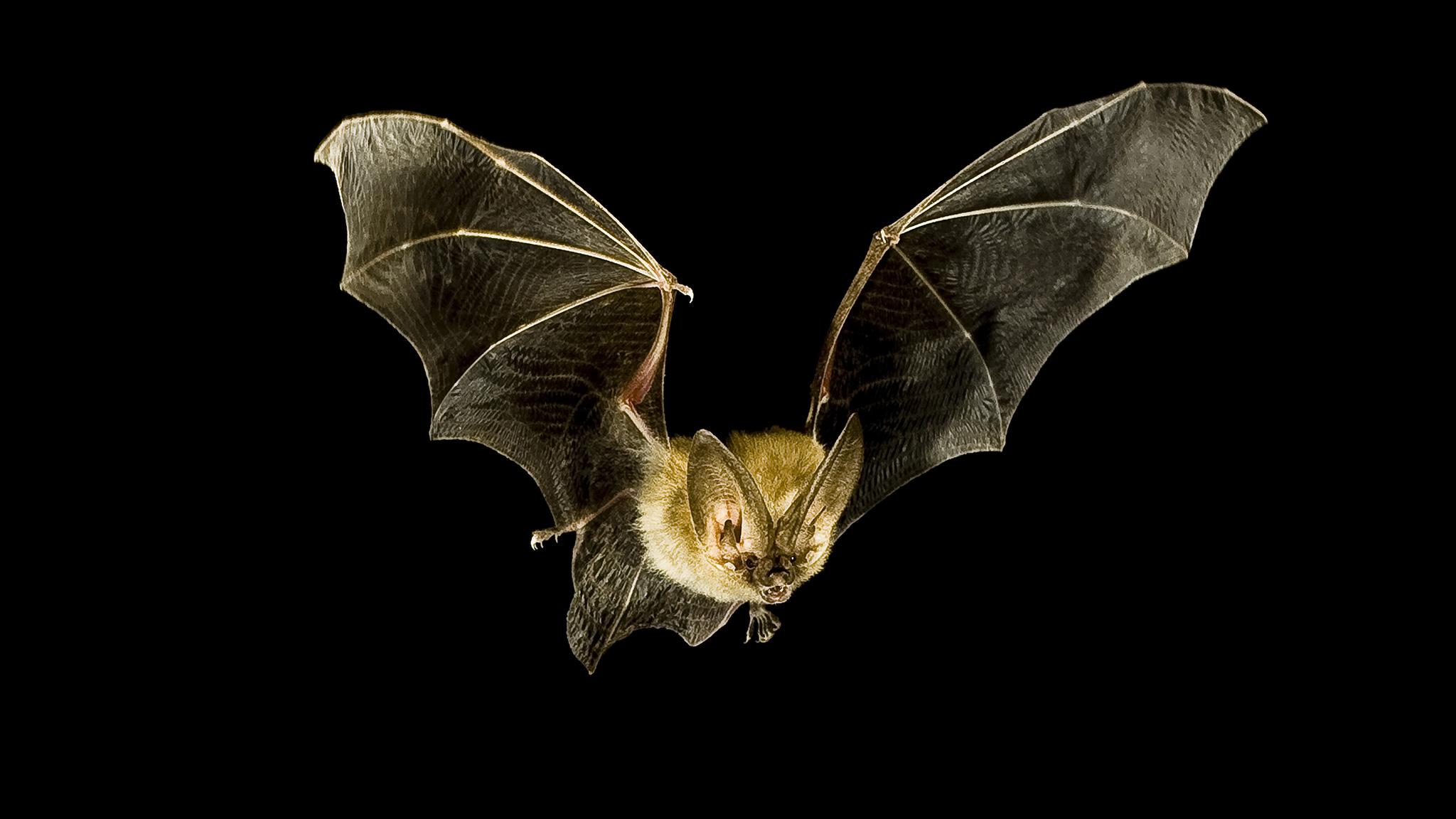 Vampire Bat Wallpaper  WallpaperSafari