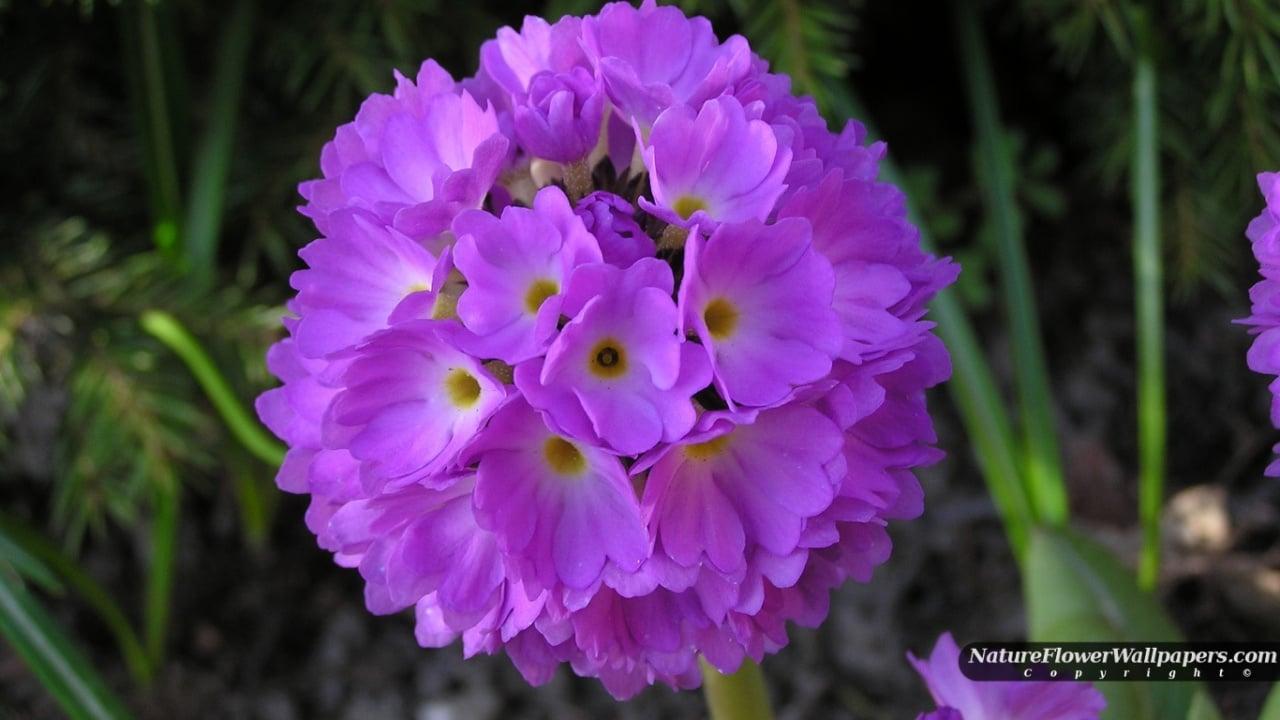 Purple Primula Denticulata wallpaper 1280x720 resolution