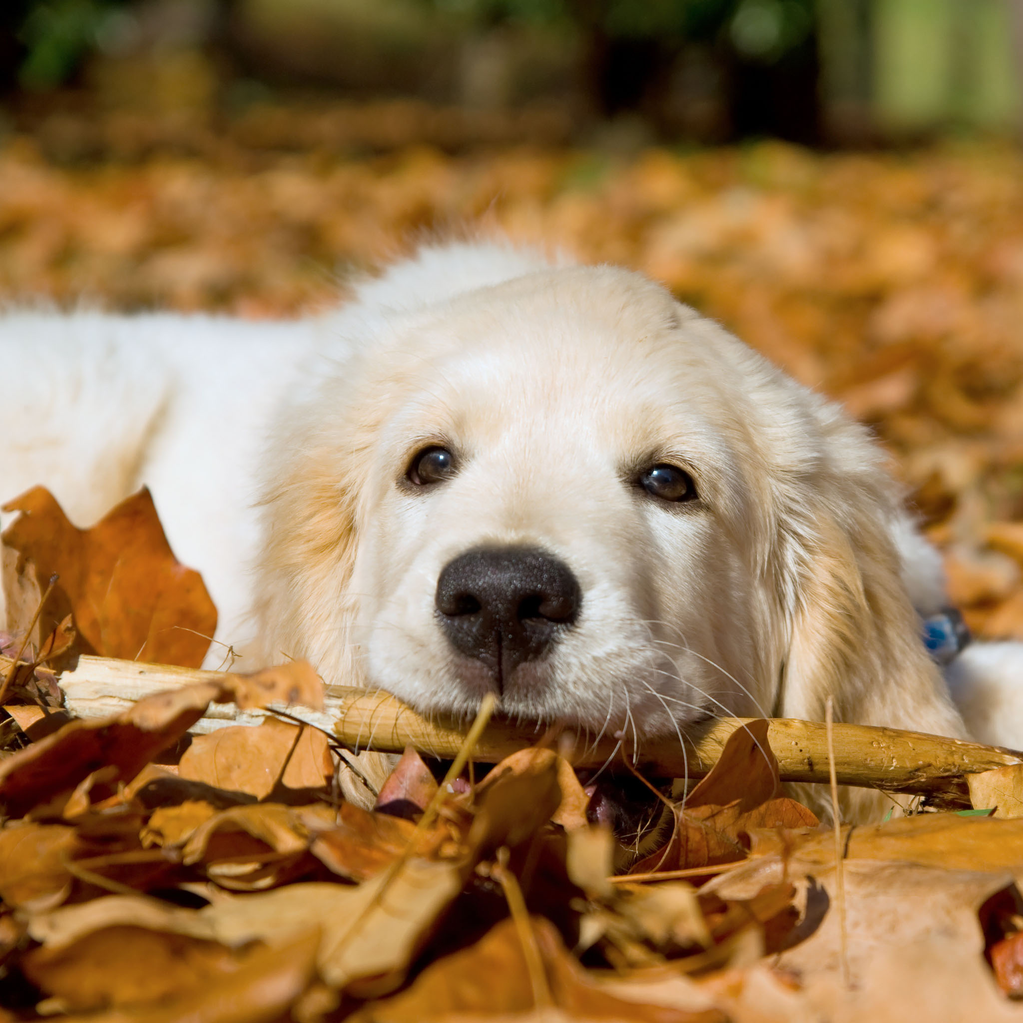 Spring Golden Retriever Wallpaper