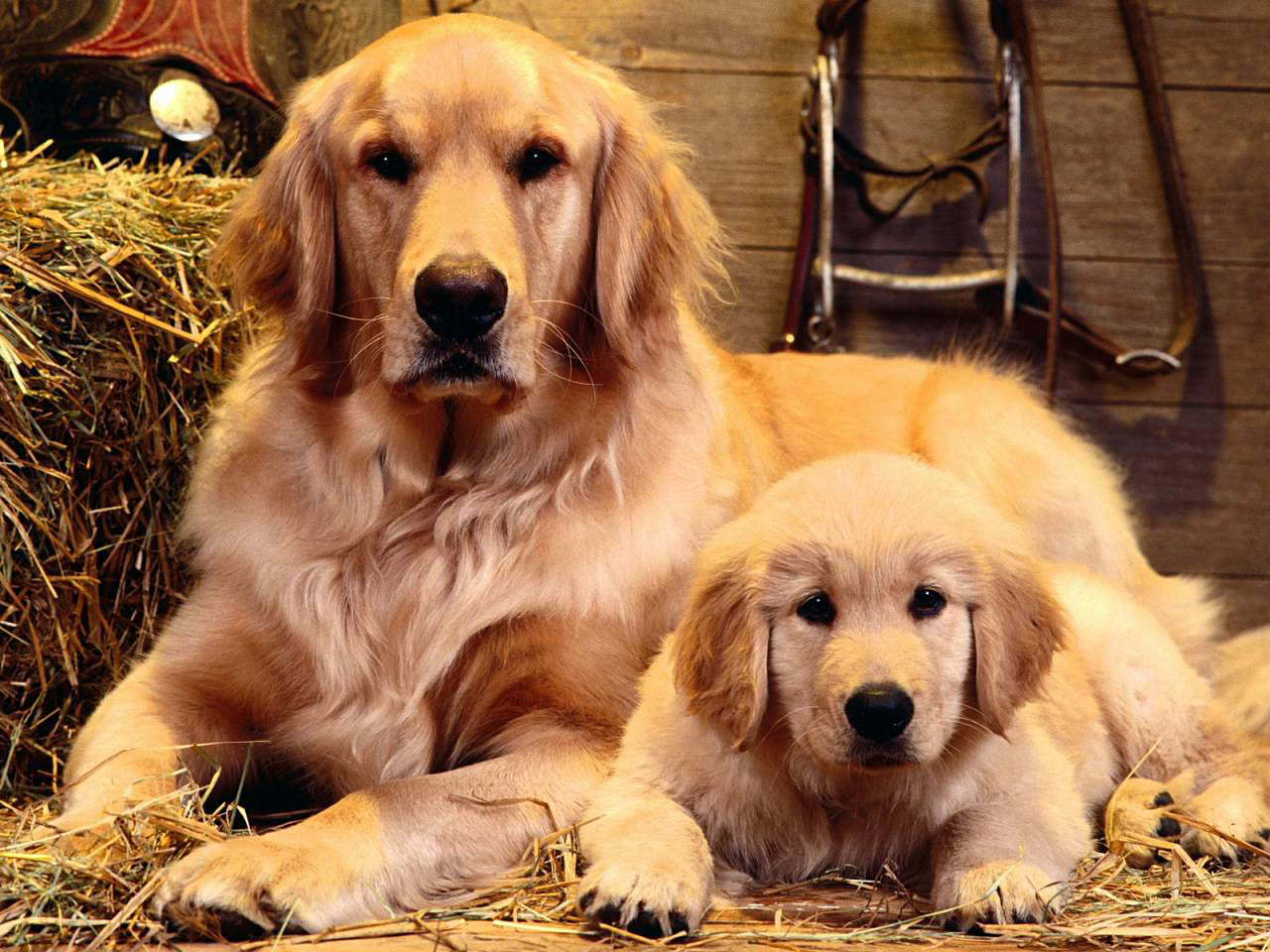 Dog And Puppy Wallpaper Wallpaper ME 1280x960