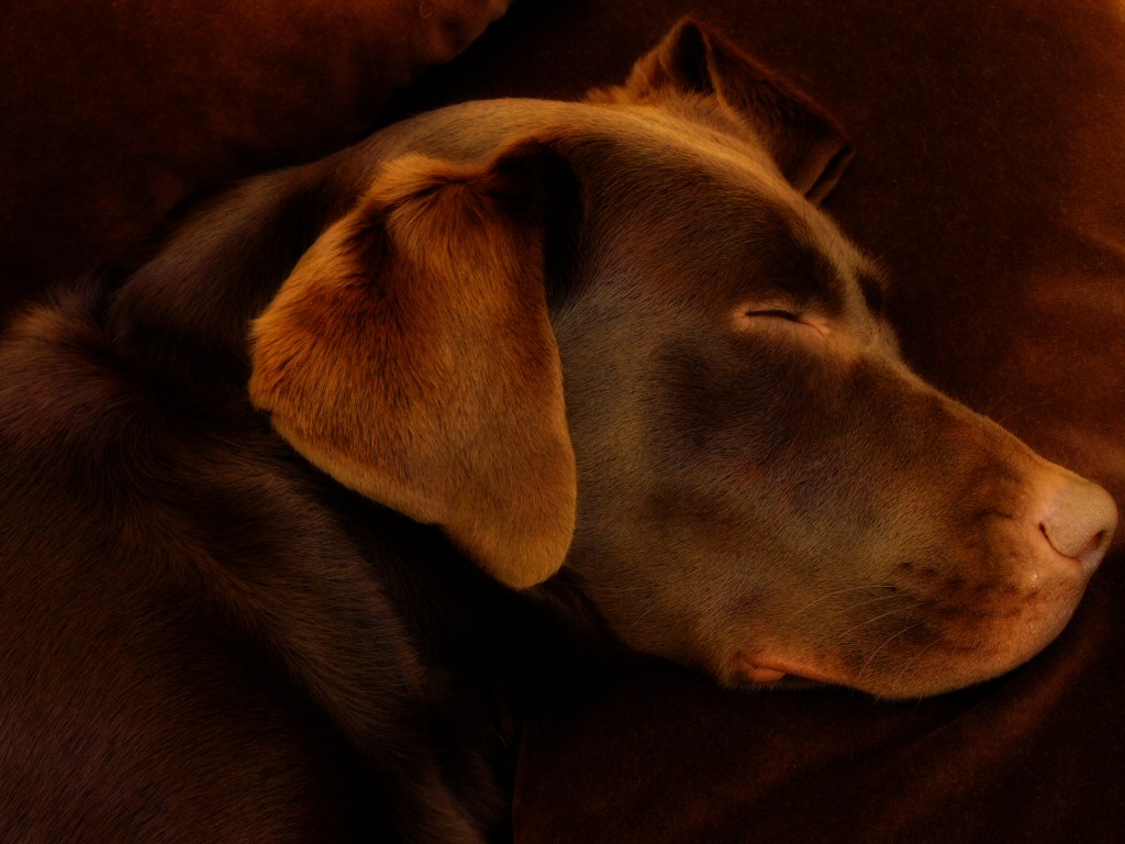 Brown images Chocolate Labrador HD wallpaper and 1024x768