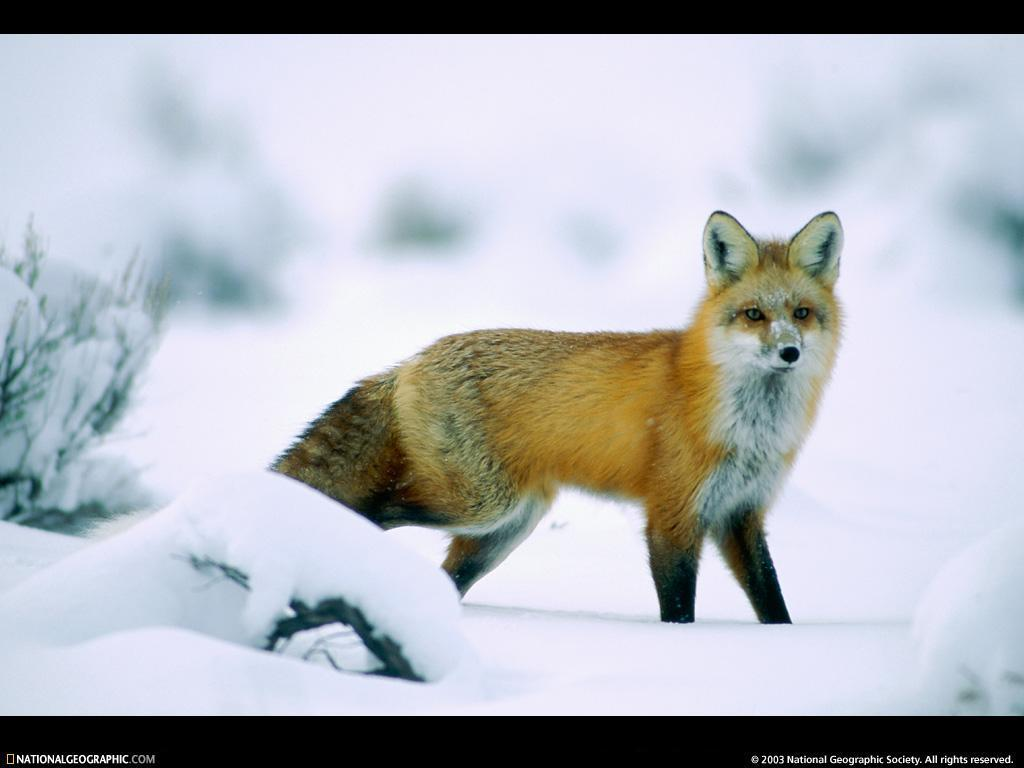 Wildlife Wallpaper Winter Amazing Wallpapers 1024x768