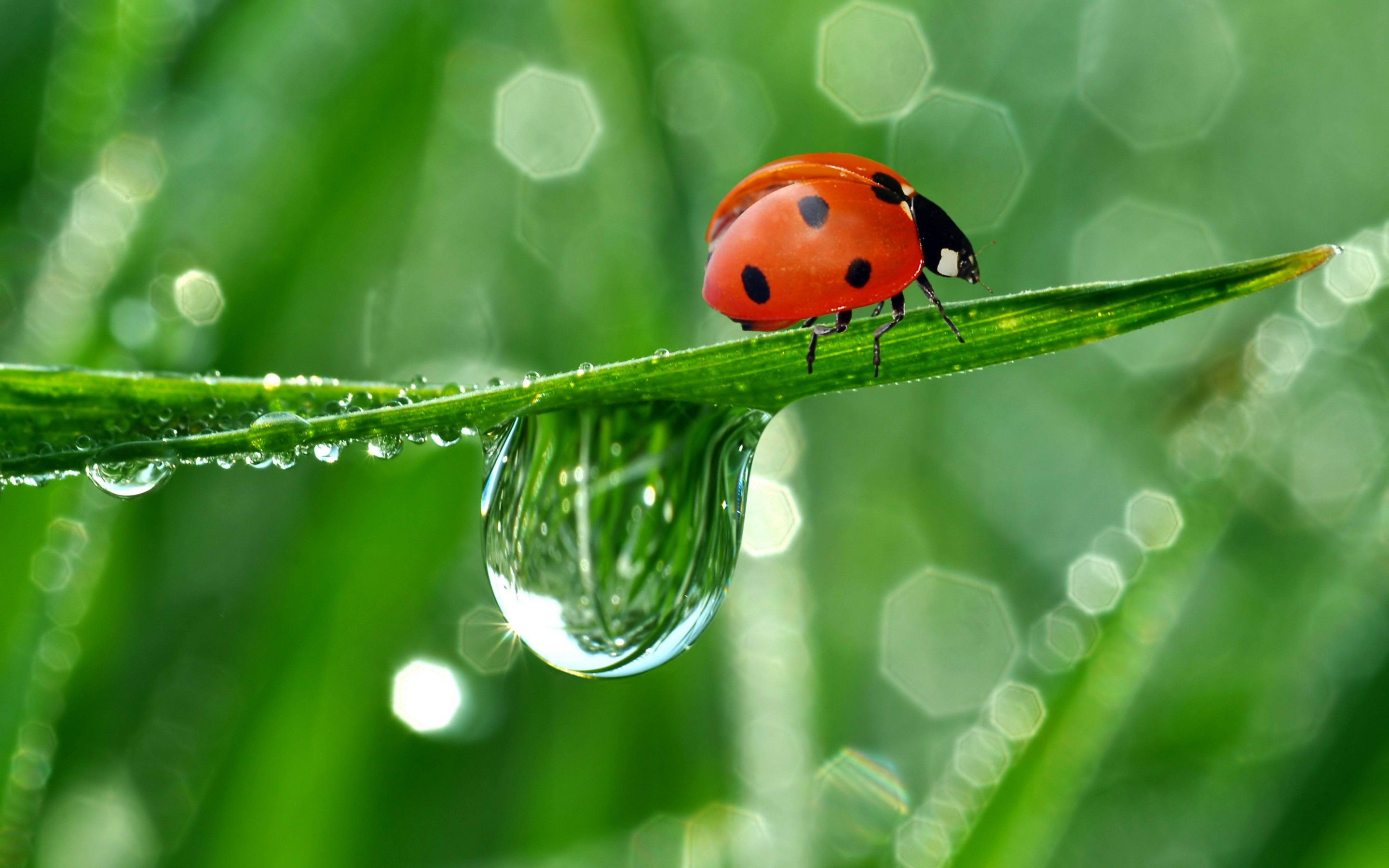375 Ladybug HD Wallpapers Background Images 2880x1800
