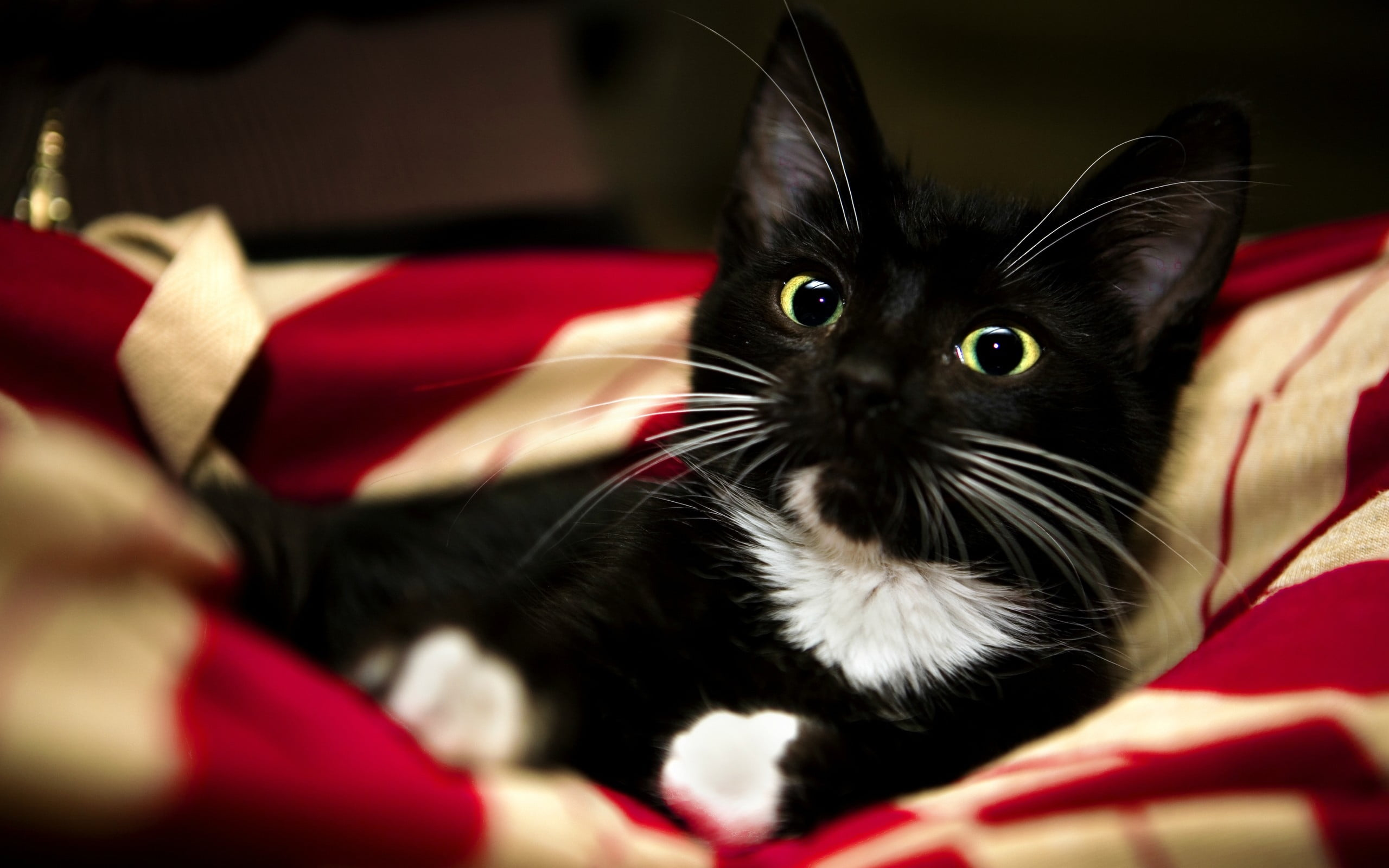 Tuxedo cat HD wallpaper Wallpaper Flare 2560x1600